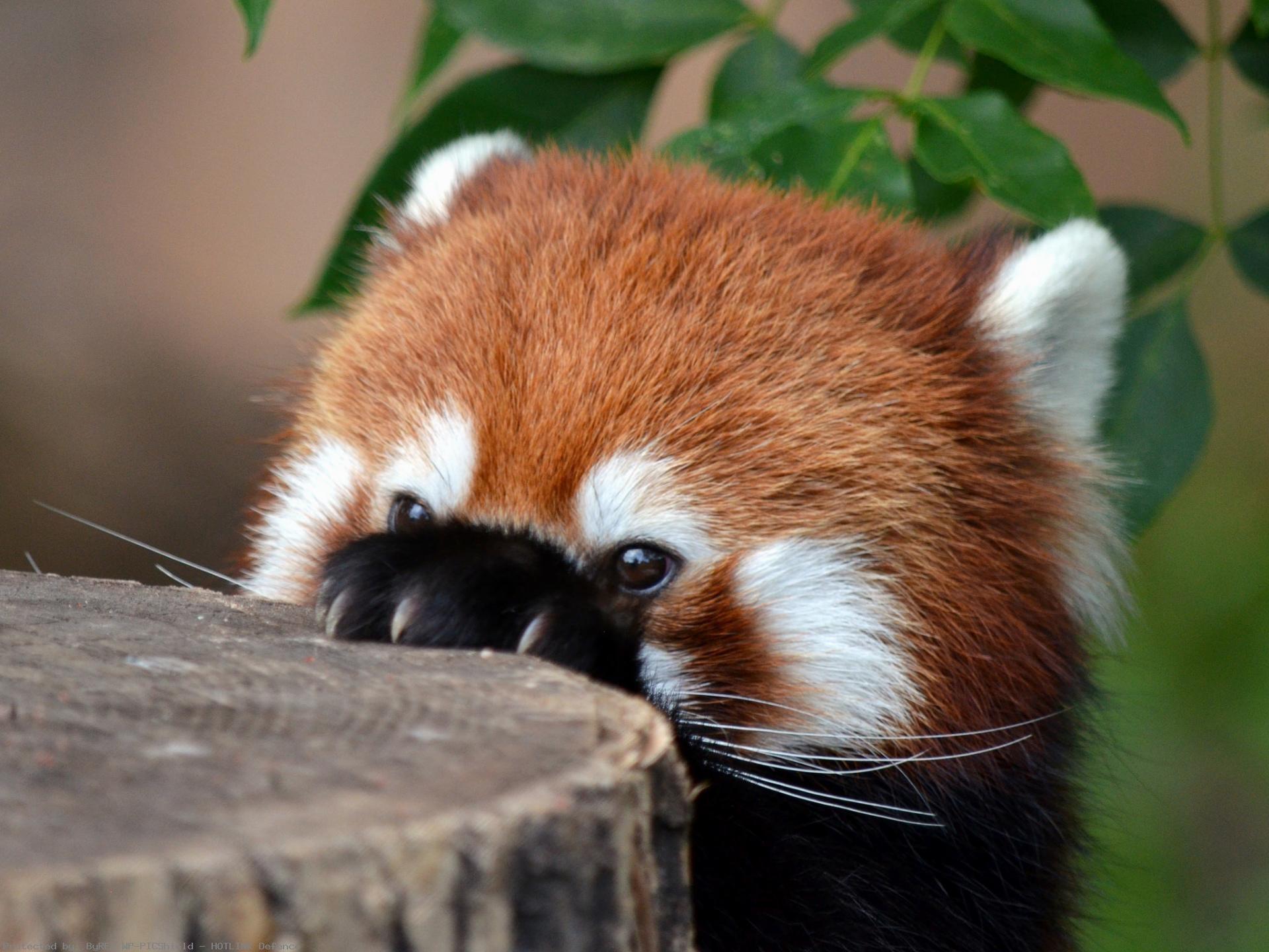 Animal-Red-Panda-wallpaper-wp4201881