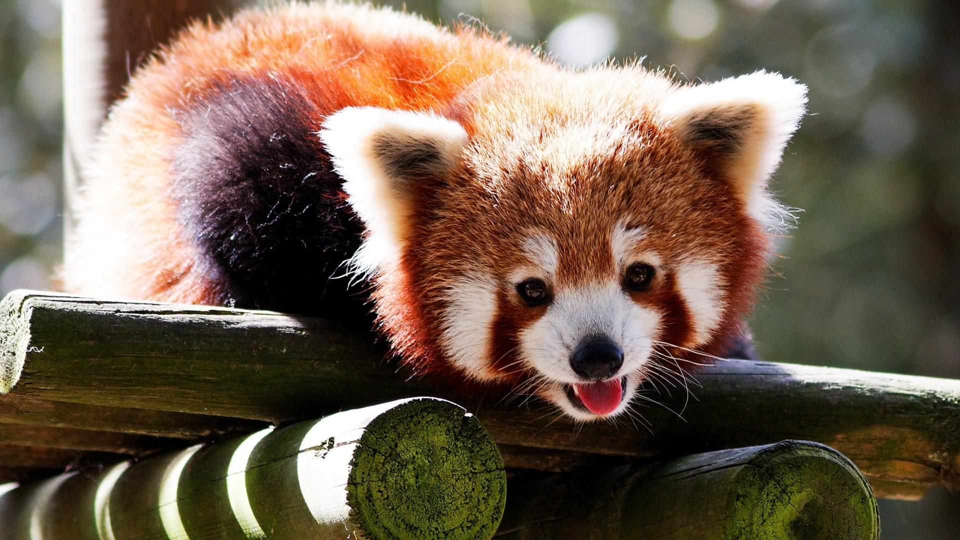 28 HD Red Panda Desktop Wallpapers For Free Download