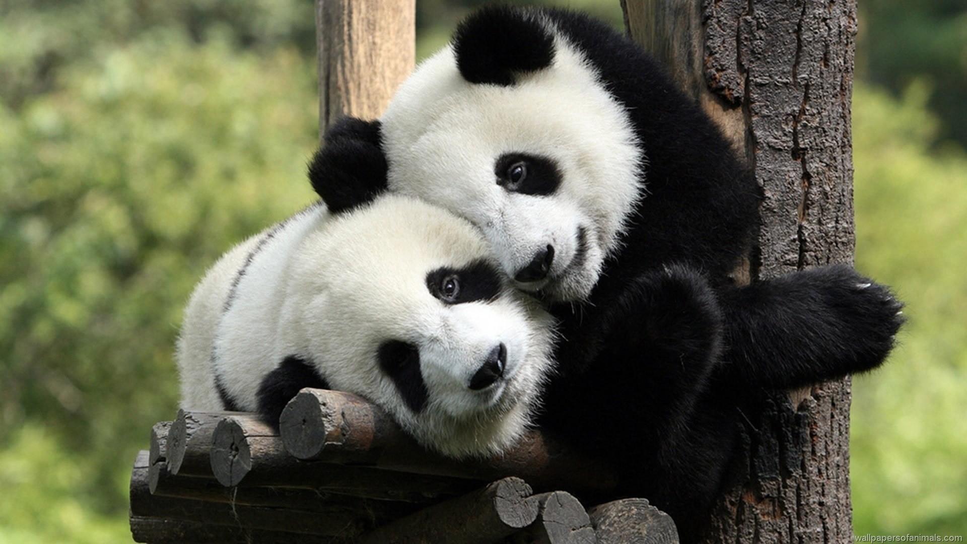 Baby Panda Wallpaper. Baby Red Panda