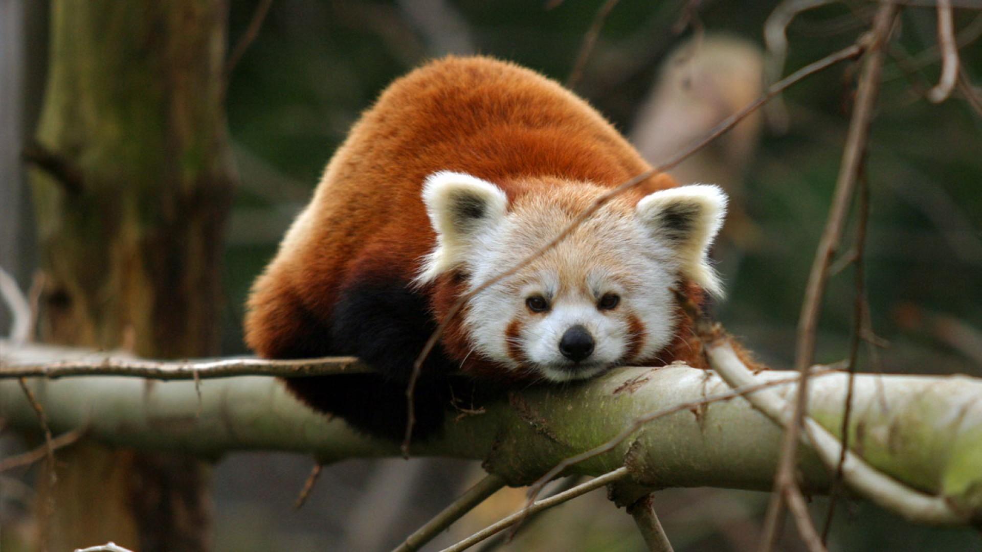 Red Panda Wallpaper 1080p