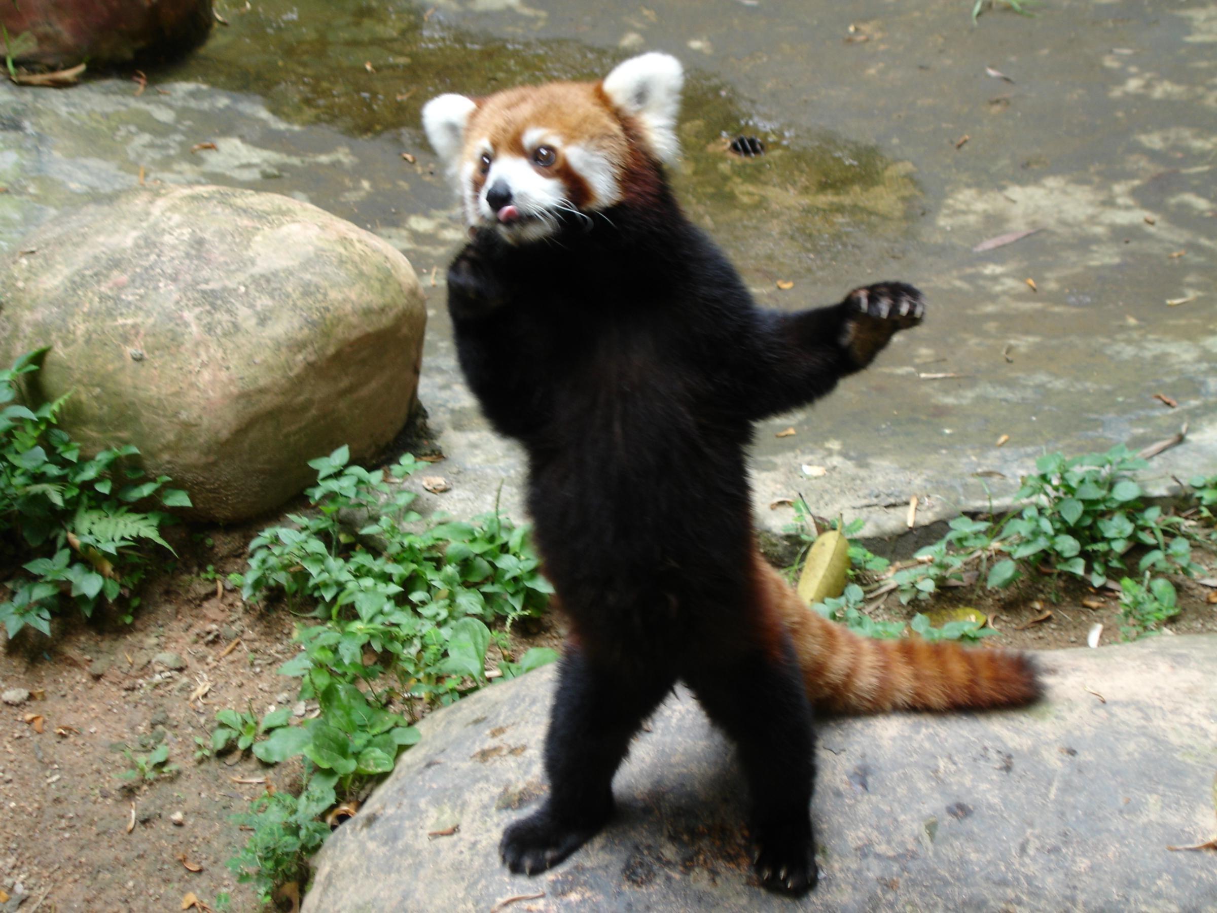 animals, Red Panda