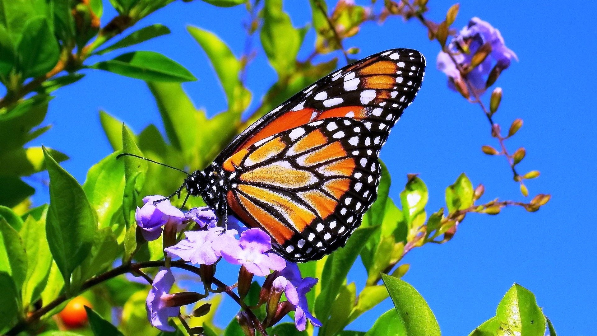 … Beautiful Butterfly On Flower wallpaper | wallpaper free download