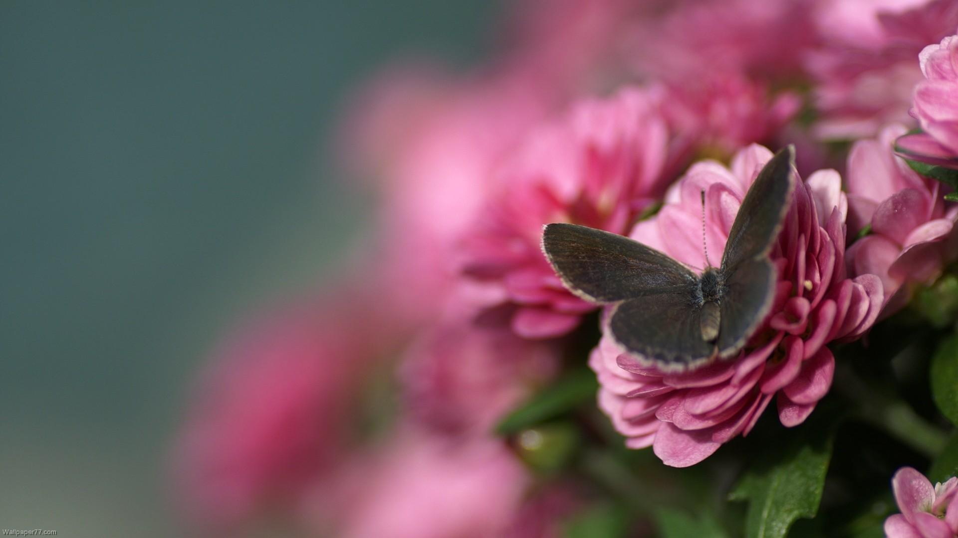 DARK BUTTERFLY ON PINK FLOWER WALLPAPER | Butterfly-on-Pink-Rose-flower