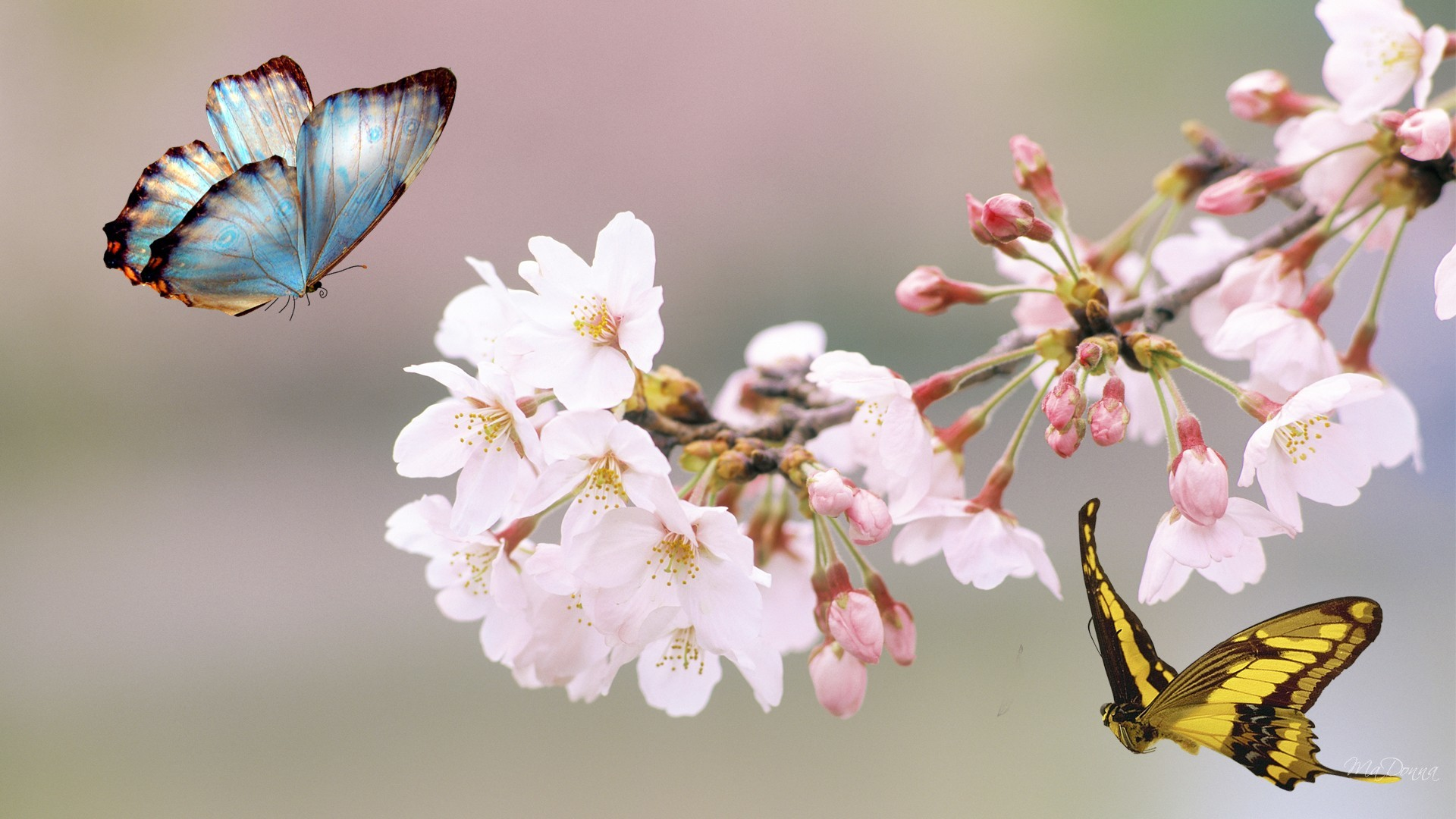 Sakura Tree Butterfly Flowers Japan Summer Free Hd Wallpapers Resolution :  Filesize : kB, Added on June Tagged : sakura tree