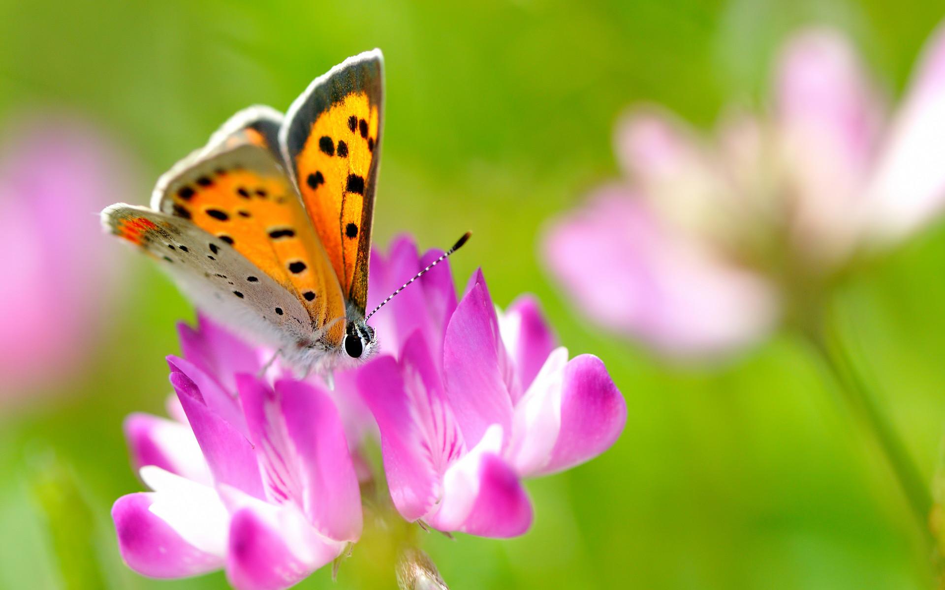 Beautiful Butterfly On Pink Flower