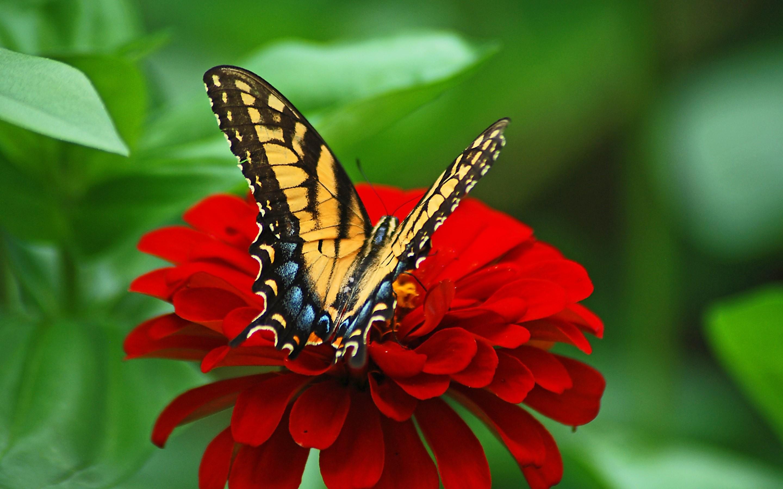 4K HD Wallpaper: Butterfly on the Red Flower