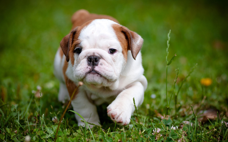 Cute Pitbull Puppy Wallpaper