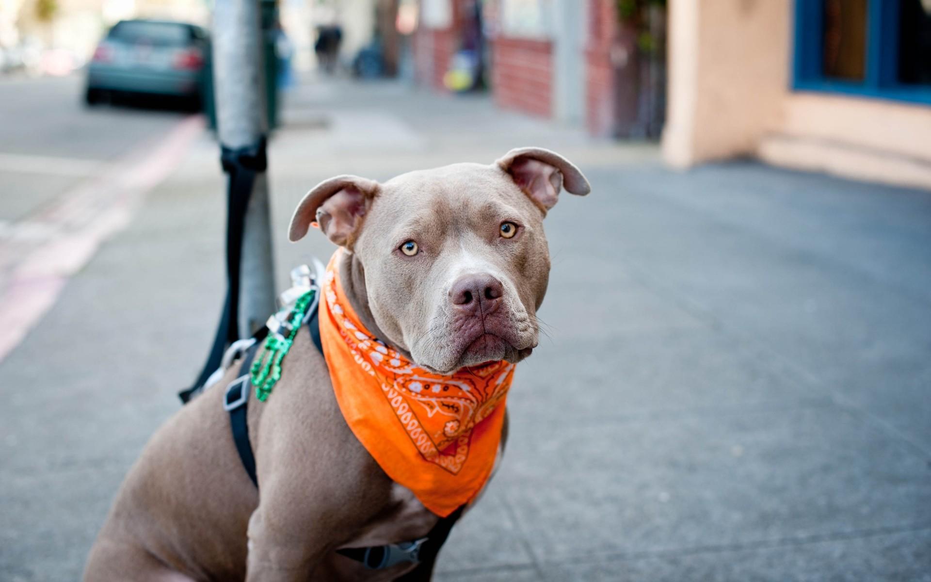 Wallpaper Cute Pitbull Dog – HD Wallpaper Expert