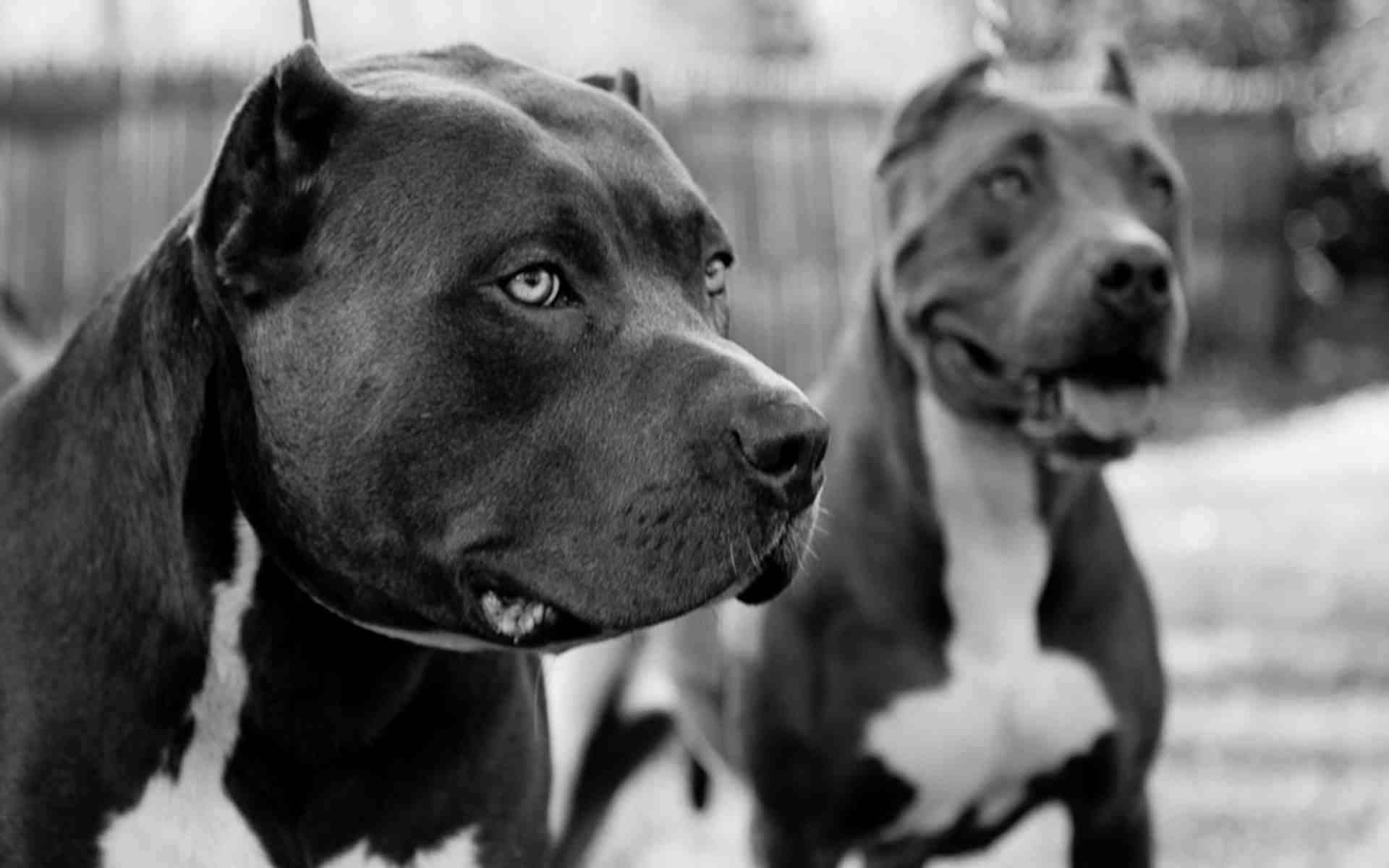Viewing Gallery For – Pit Bulls Wallpaper