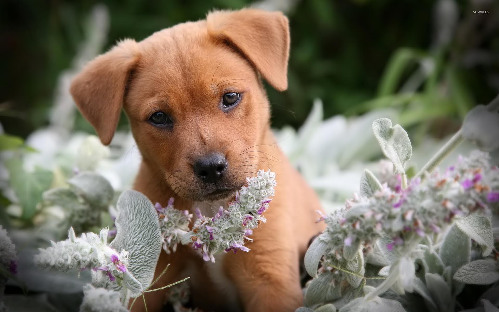 Cute brown puppy in the flowers wallpaper jpg