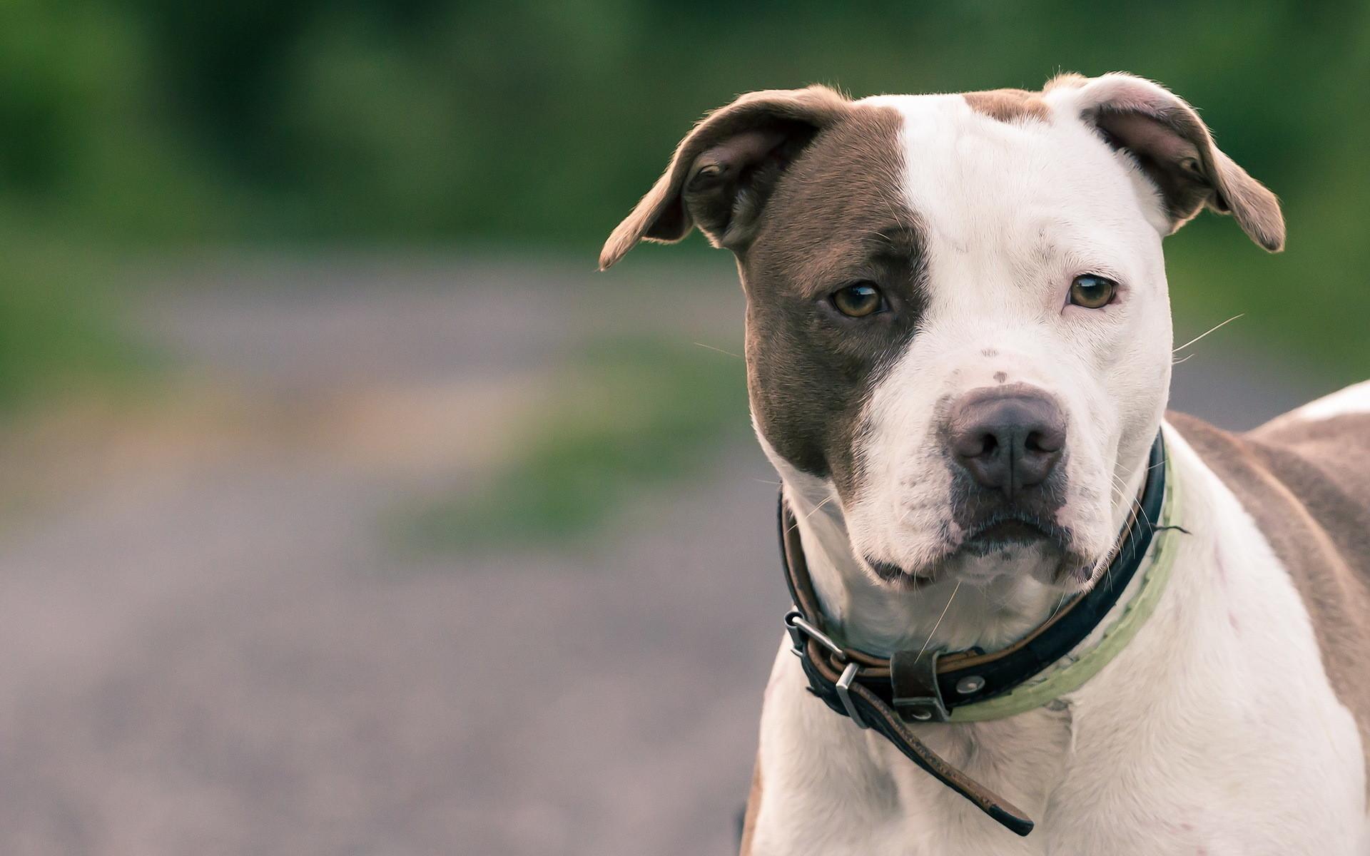 American Pit Bull Terrier desktop wallpaper