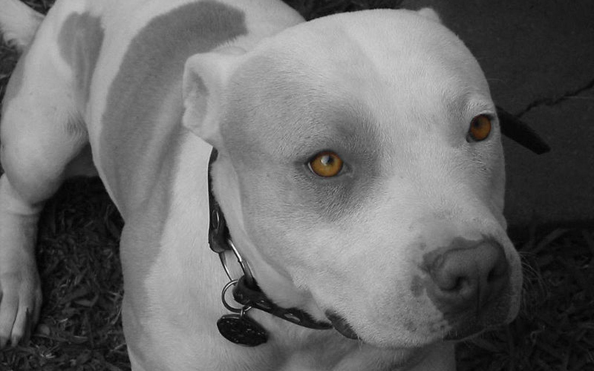 Pitbull Wallpaper – Animal Backgrounds