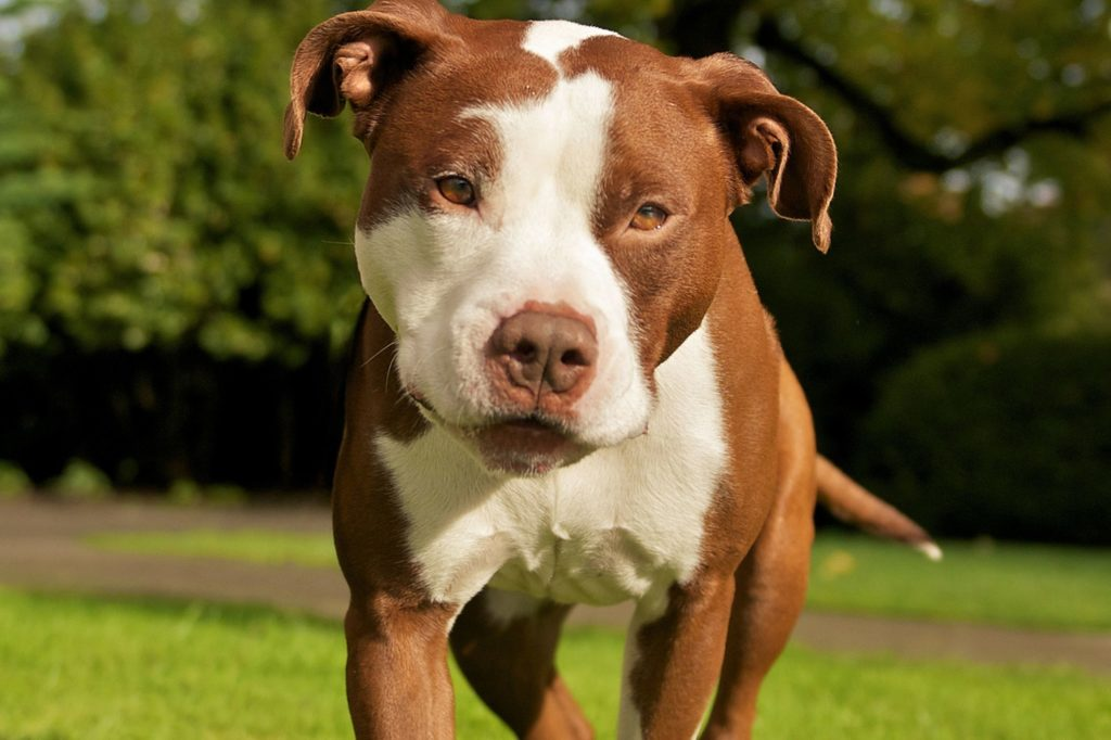 Brown And White Pit Bull Dog In Garden
