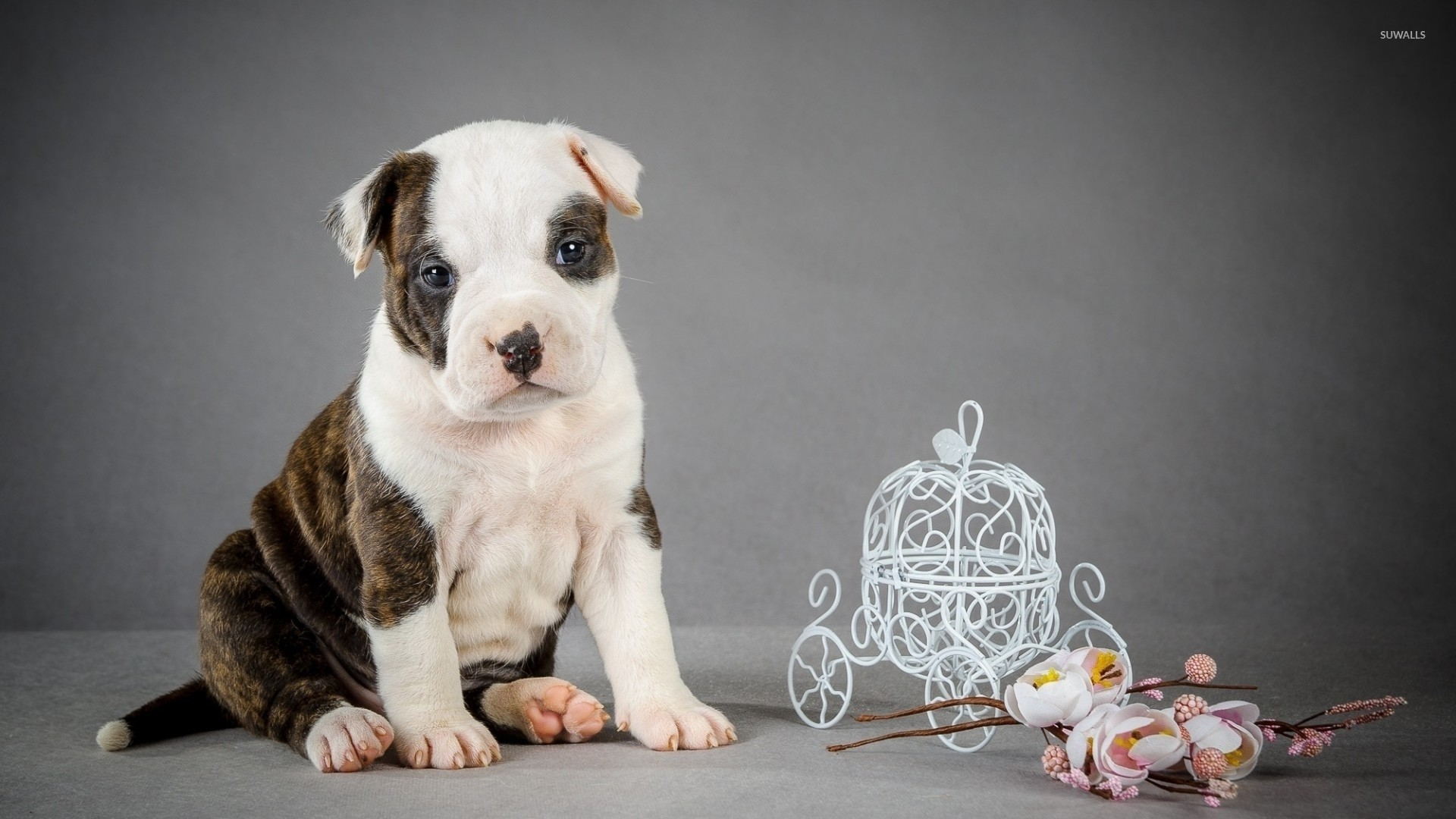 pitbull puppy wallpapers high quality resolution with high resolution  wallpaper on animal category similar with black