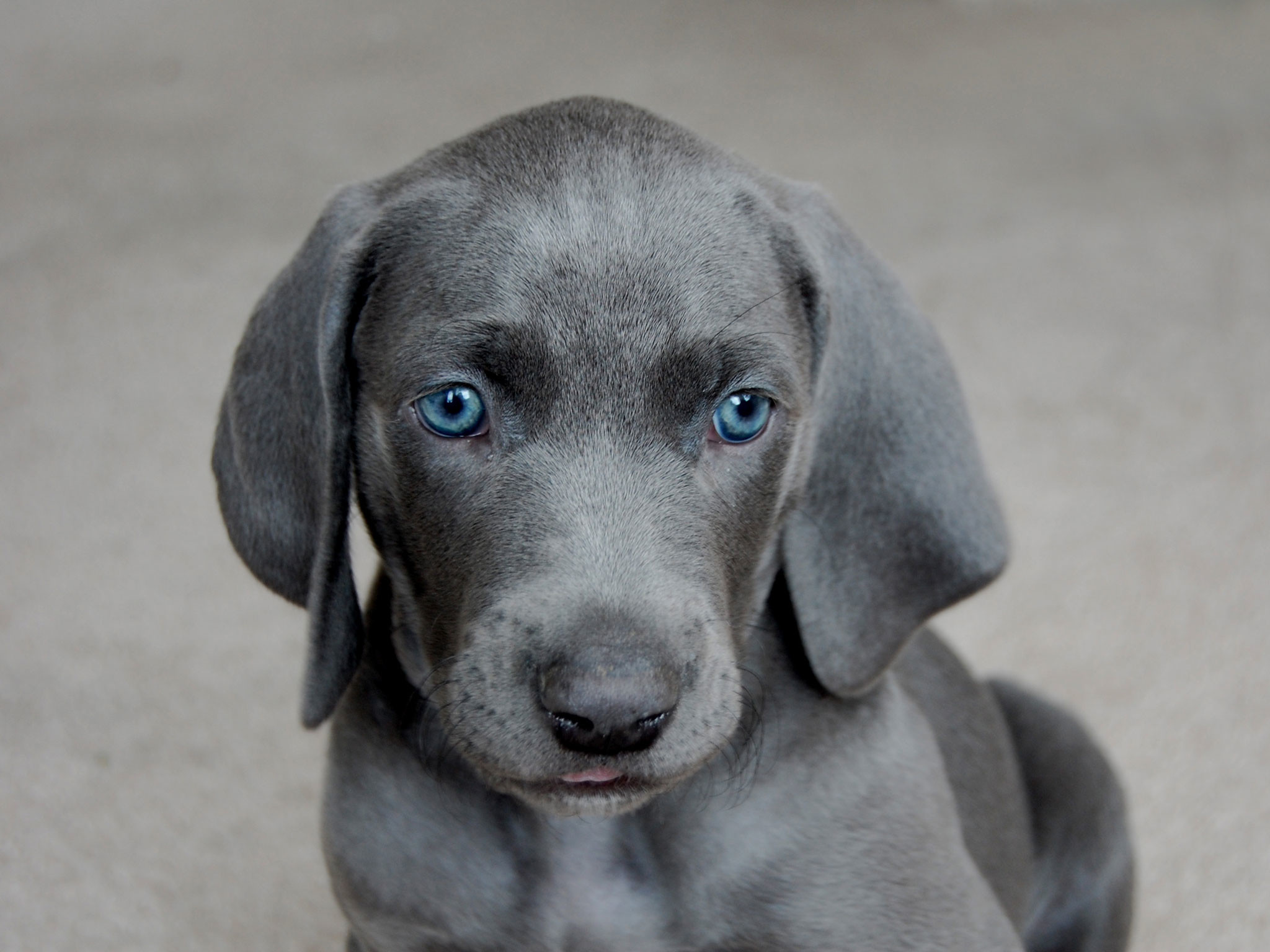 Blue Pitbull Puppies Wallpaper | HD Desktop Wallpaper