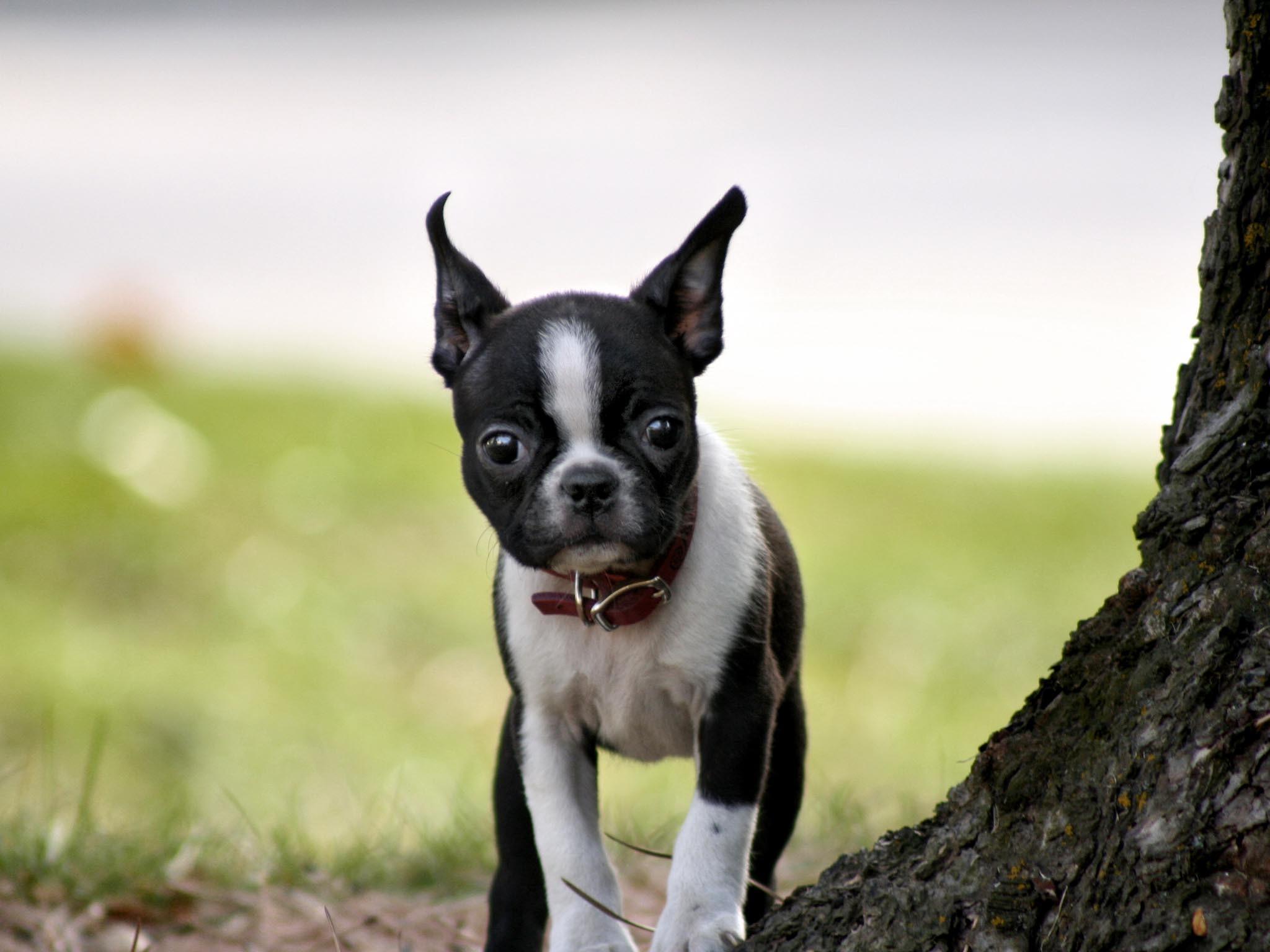 Boston Terrier Puppies – wallpaper.