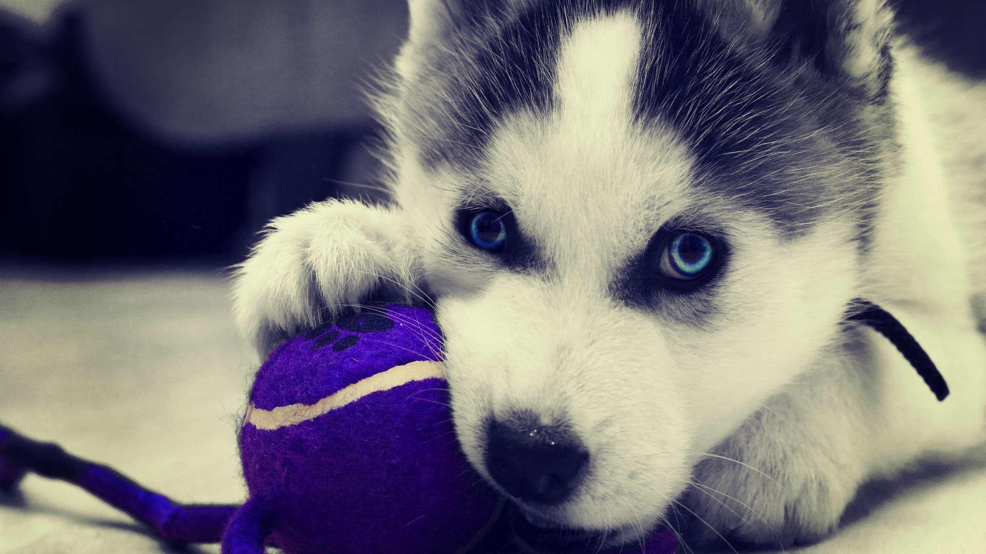 Husky Puppy Image For Desktop Wallpaper 1920 x 1080 px 623.08 KB iphone  christmas pitbull widescreen