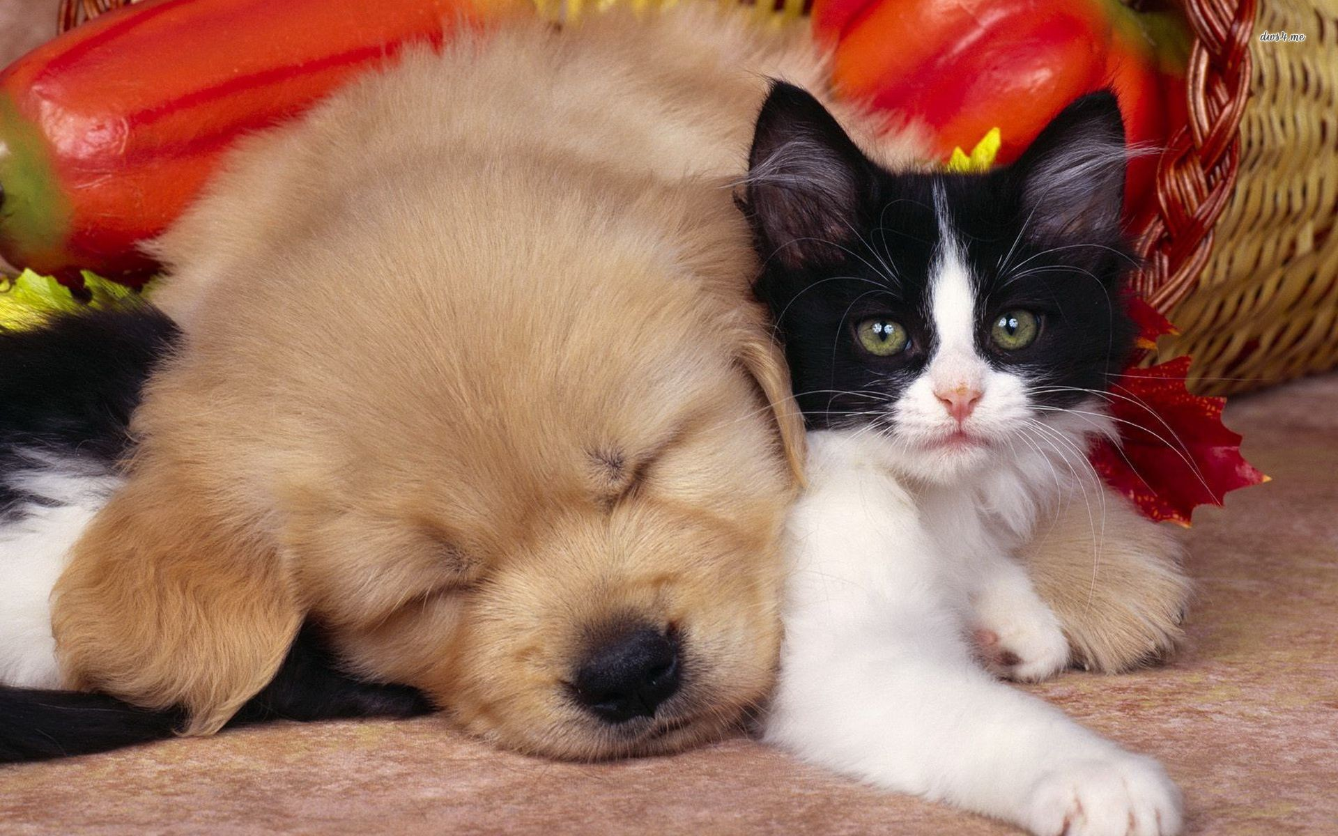 Cute Dog And Cat Hd Wallpaperjpg. Dogs And Cats Wallpaper .