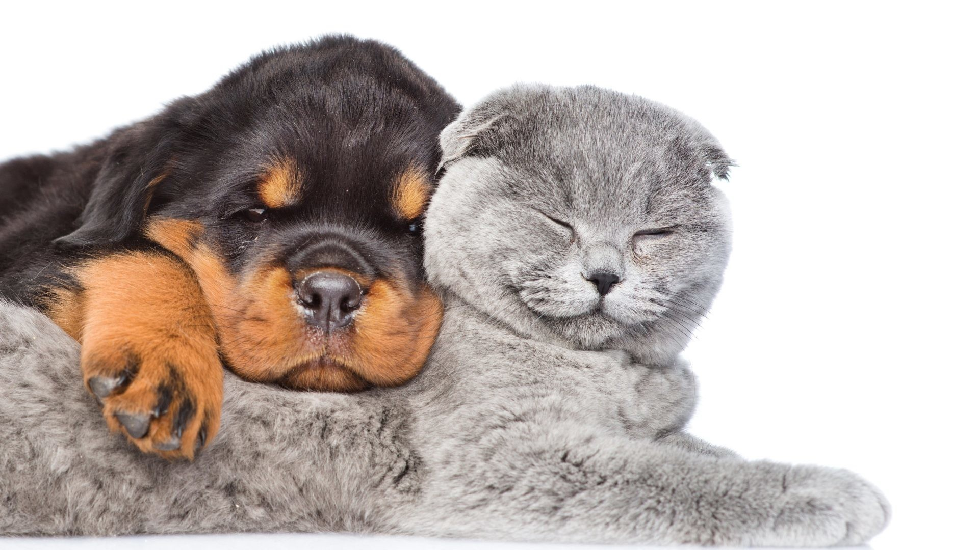 Cat Tag – Puppy Two Cat Kitten White Dog Rottweiler Sleep Baby Animal  Desktop Image for