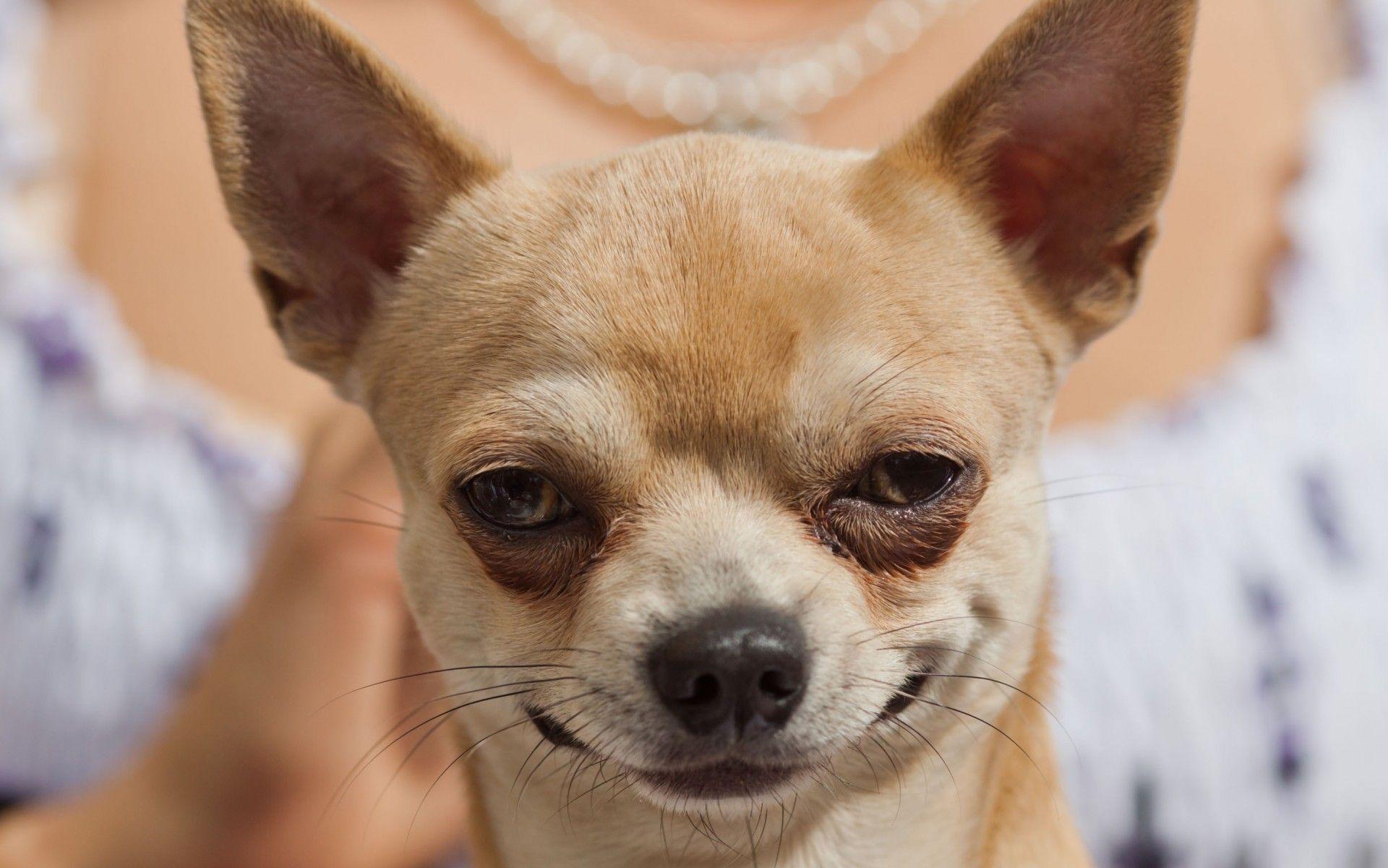 Puppies Chihuahua – Free Download Wallpaper Desktop, Widescreen .