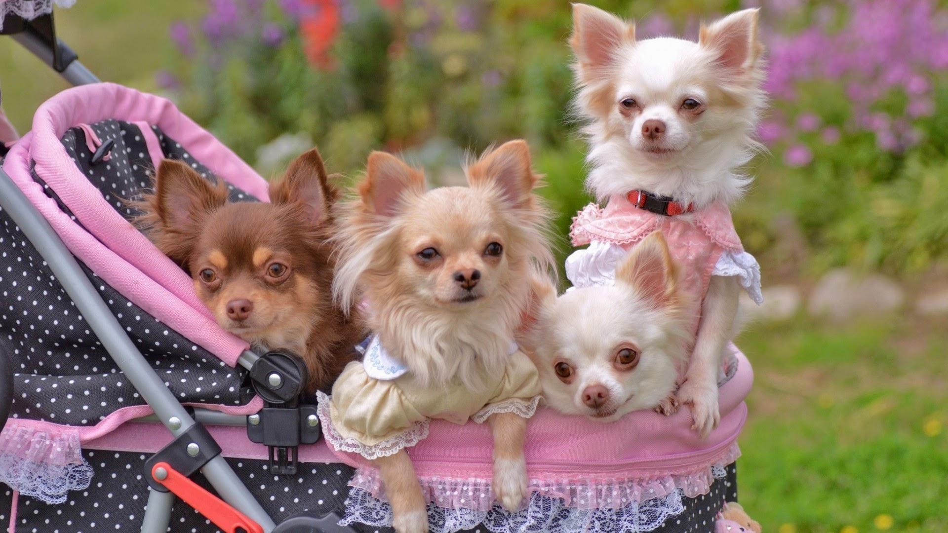 Hermosos-perros-chihuahua-1920×1080-1920%C3%971080-wallpaper-
