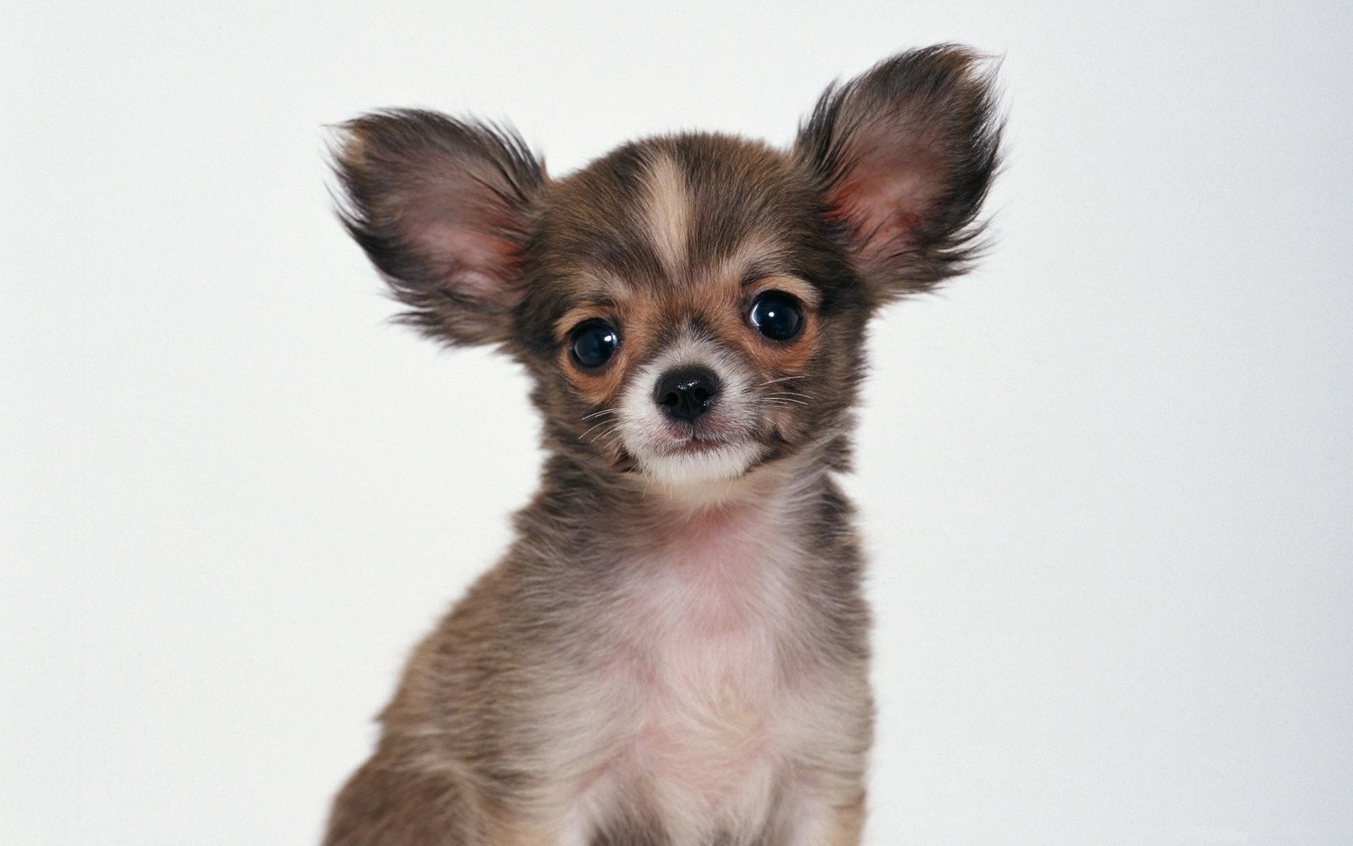 wallpaper.wiki-Chihuahua-Baby-Background-PIC-WPC006684