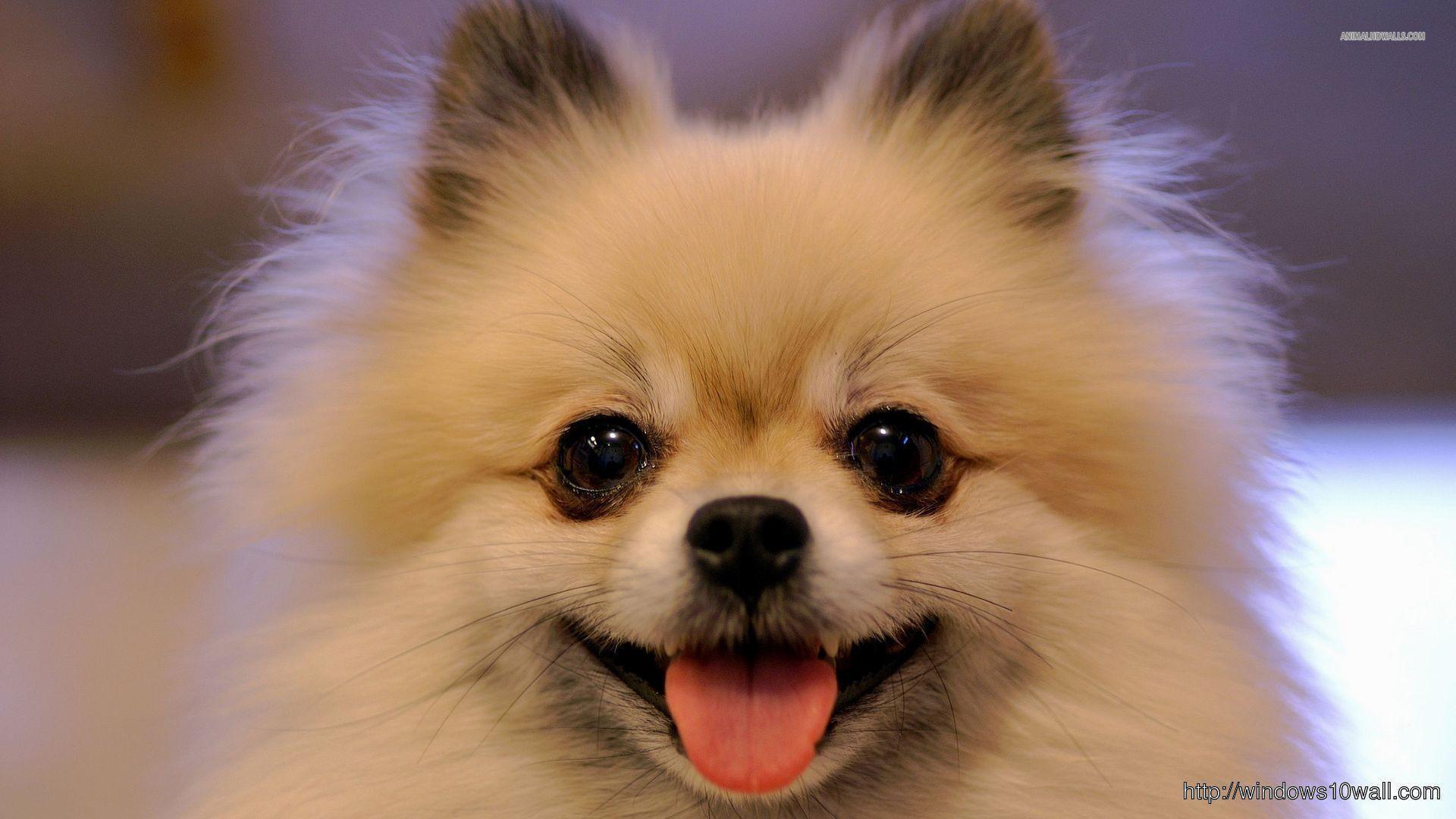 Cute-Chihuahua-HD-Desktop-WideScreen-1920%C3%971080-