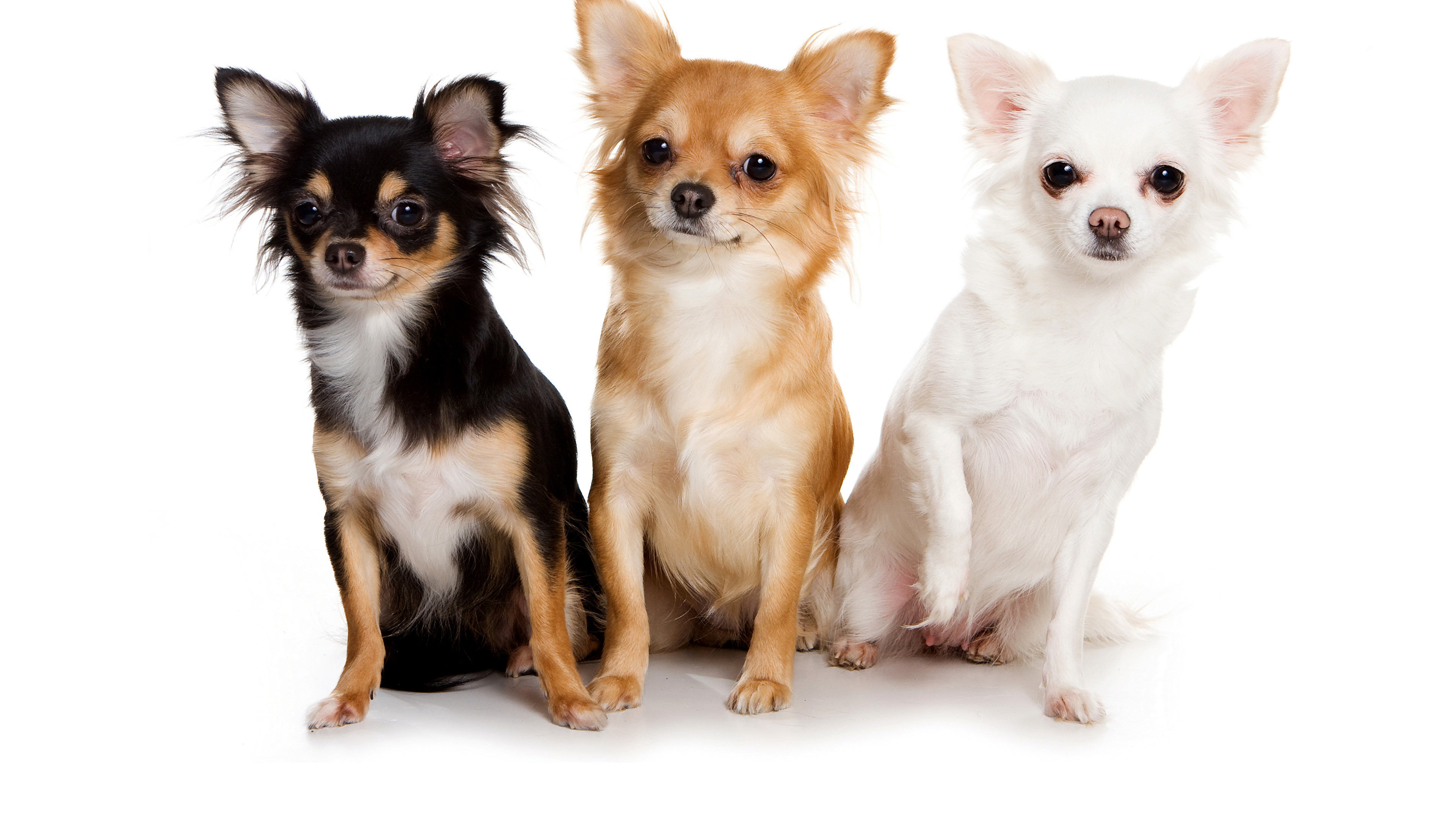 Wallpapers Chihuahua Dogs Three 3 Animals White background 3840×2160