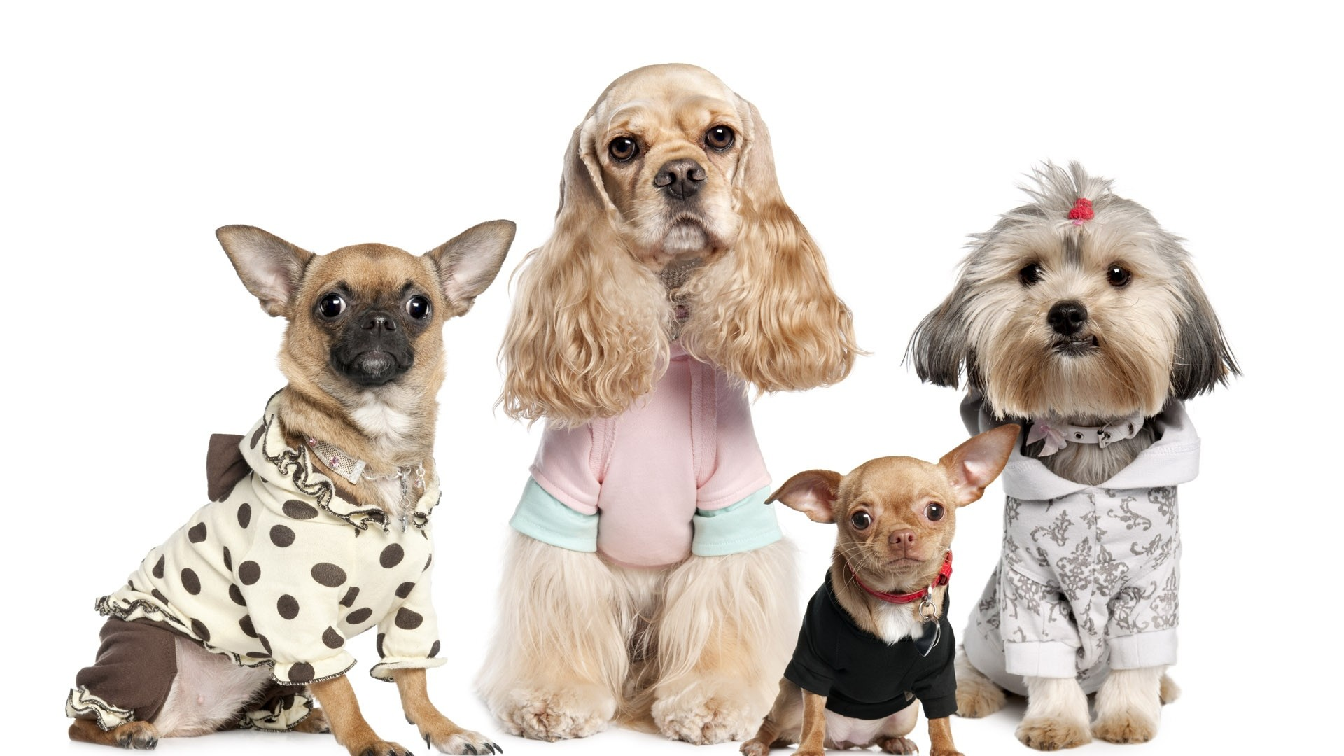 Preview wallpaper dogs, variety, yorkshire terrier, chihuahua, costumes  1920×1080