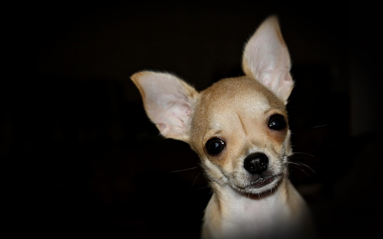 Chihuahua Wallpaper 838563