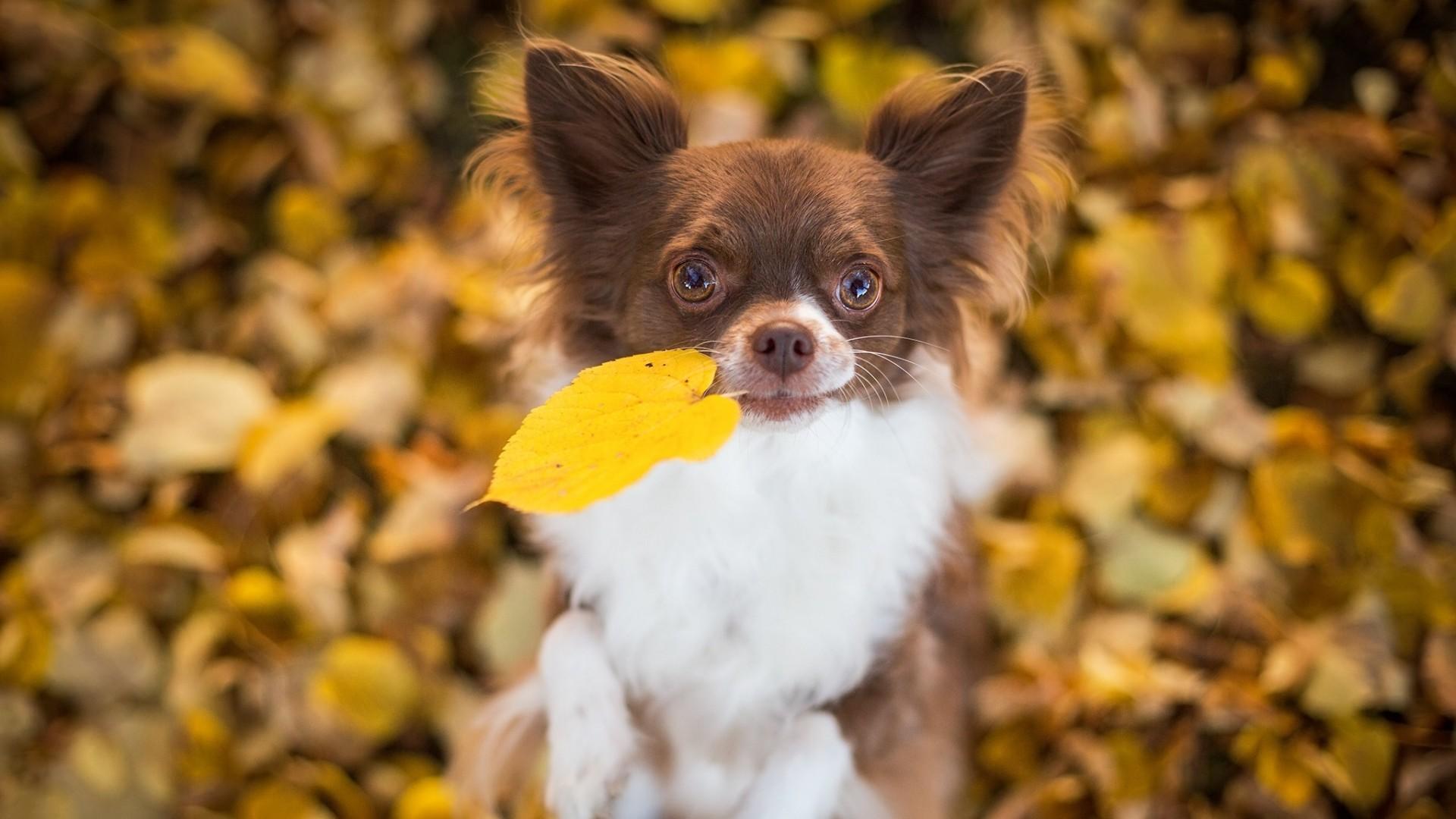 Wallpaper chihuahua, dog, foliage, autumn