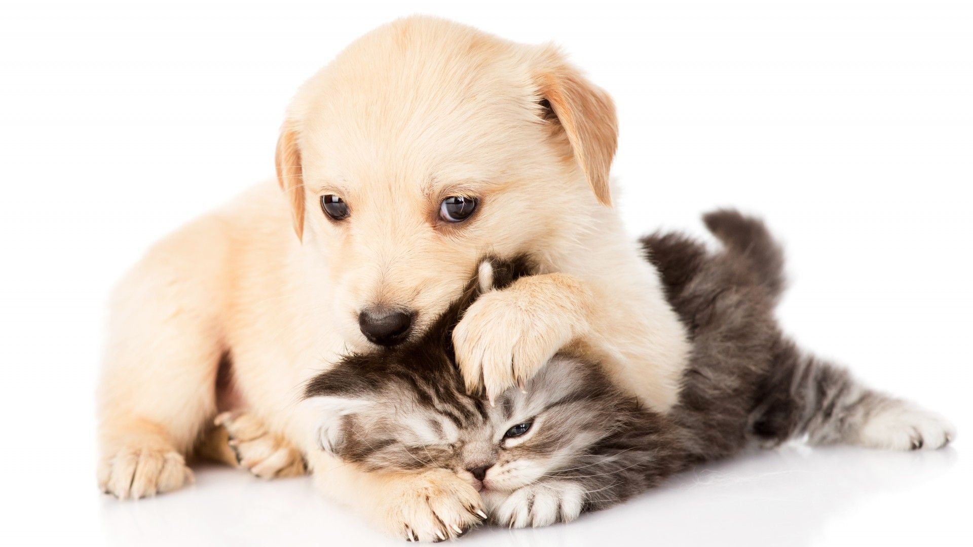 Wallpaper puppy and kitten, battle, chihuahua, white background HD