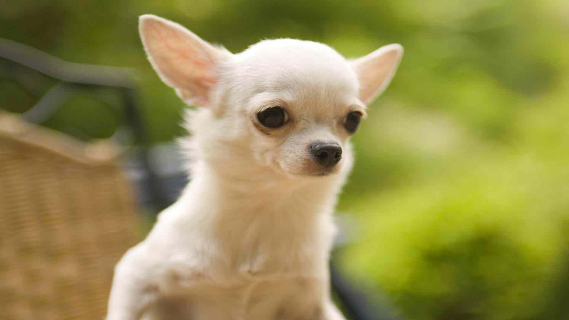 hd pics photos cute white chihuahua dog beautiful hd quality desktop  background wallpaper