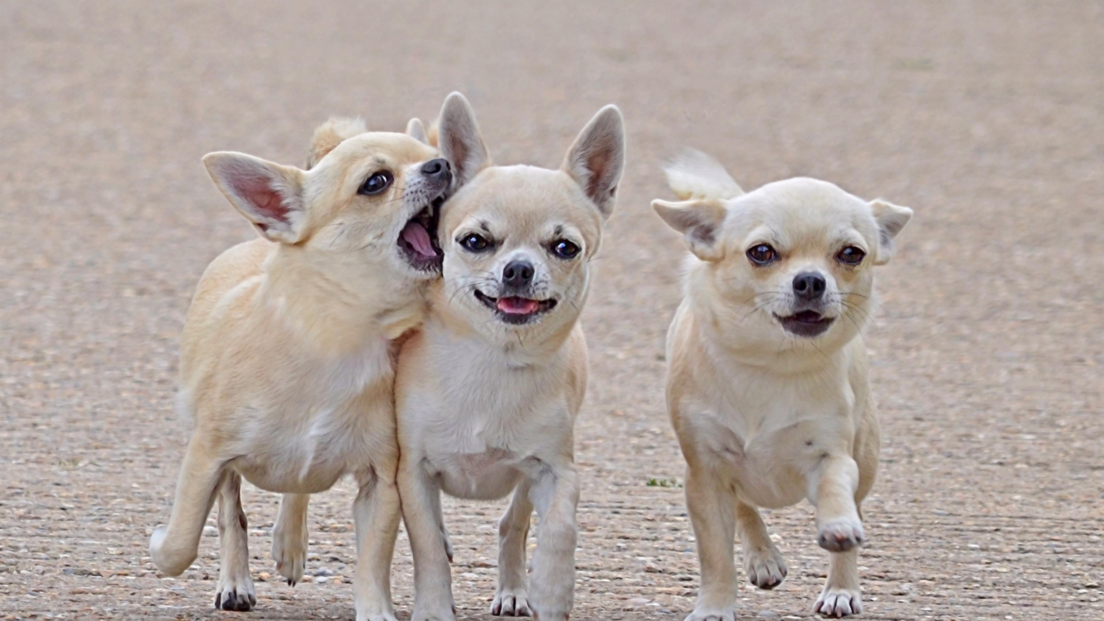 Wallpaper chihuahua, three, friends, comrades, dog, walk