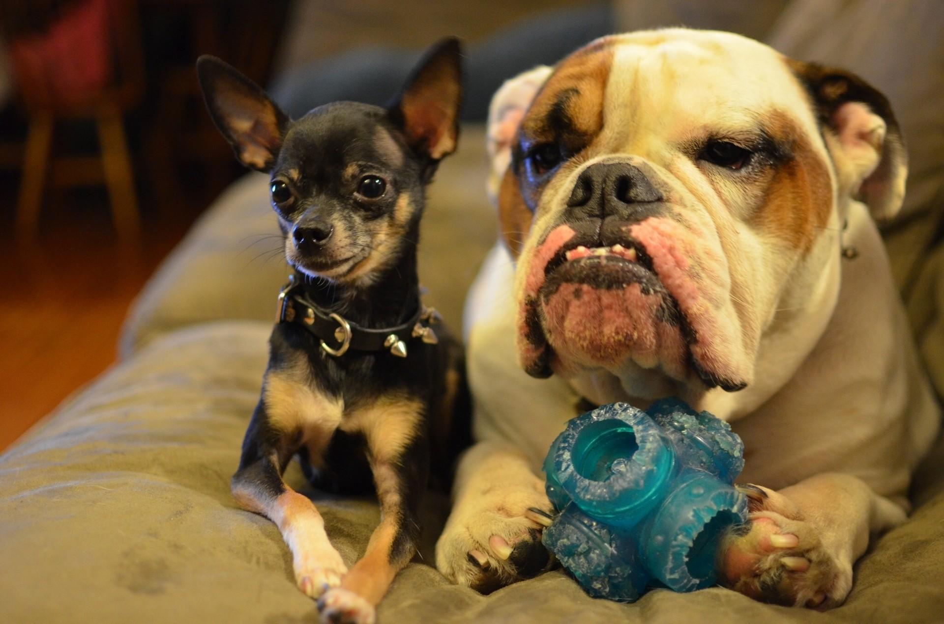 Wallpaper Bulldog Chihuahua Dogs Snout Animals 1920×1271