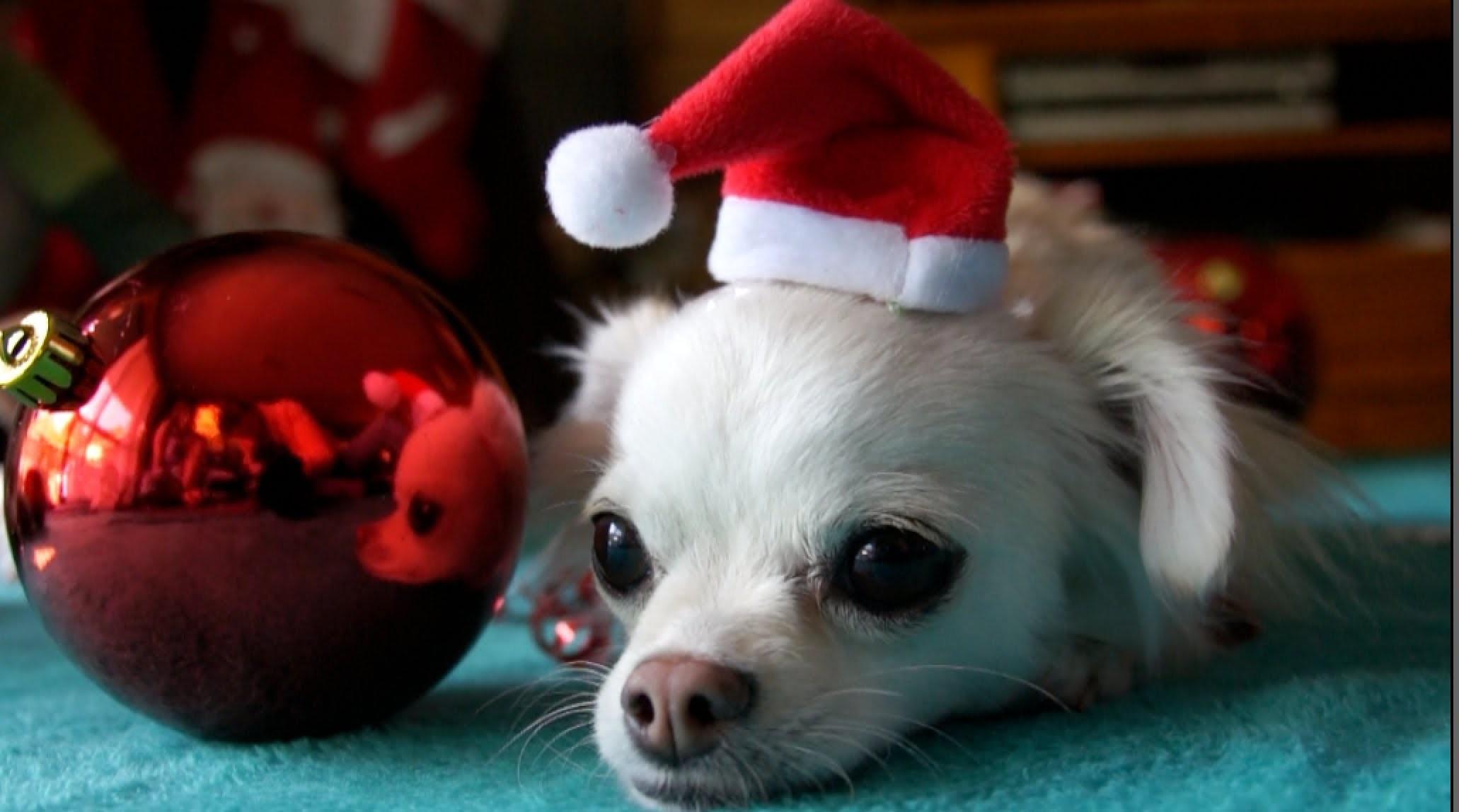 Christmas Chihuahua Desktop Wallpaper – WallpaperSafari