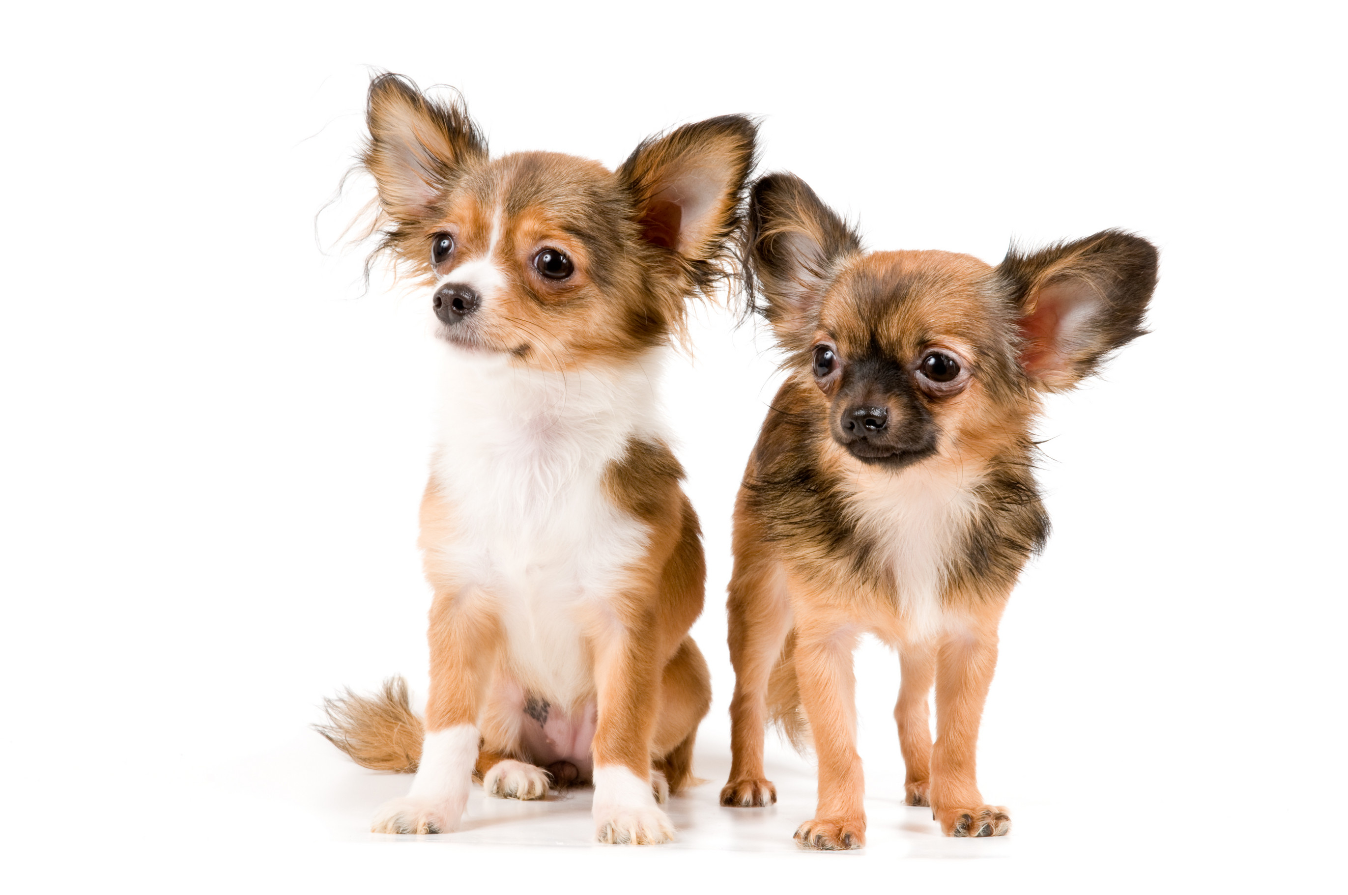 Chihuahua Dogs 12 High Resolution Wallpaper