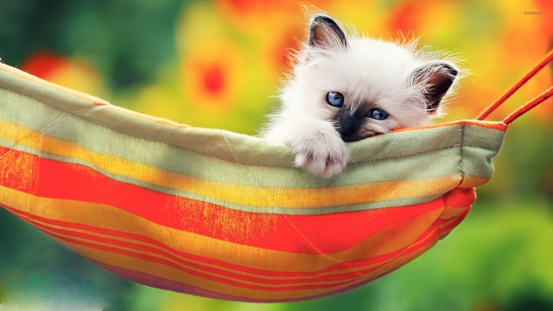 … kitten in the hammock wallpaper animal wallpapers 53082 …