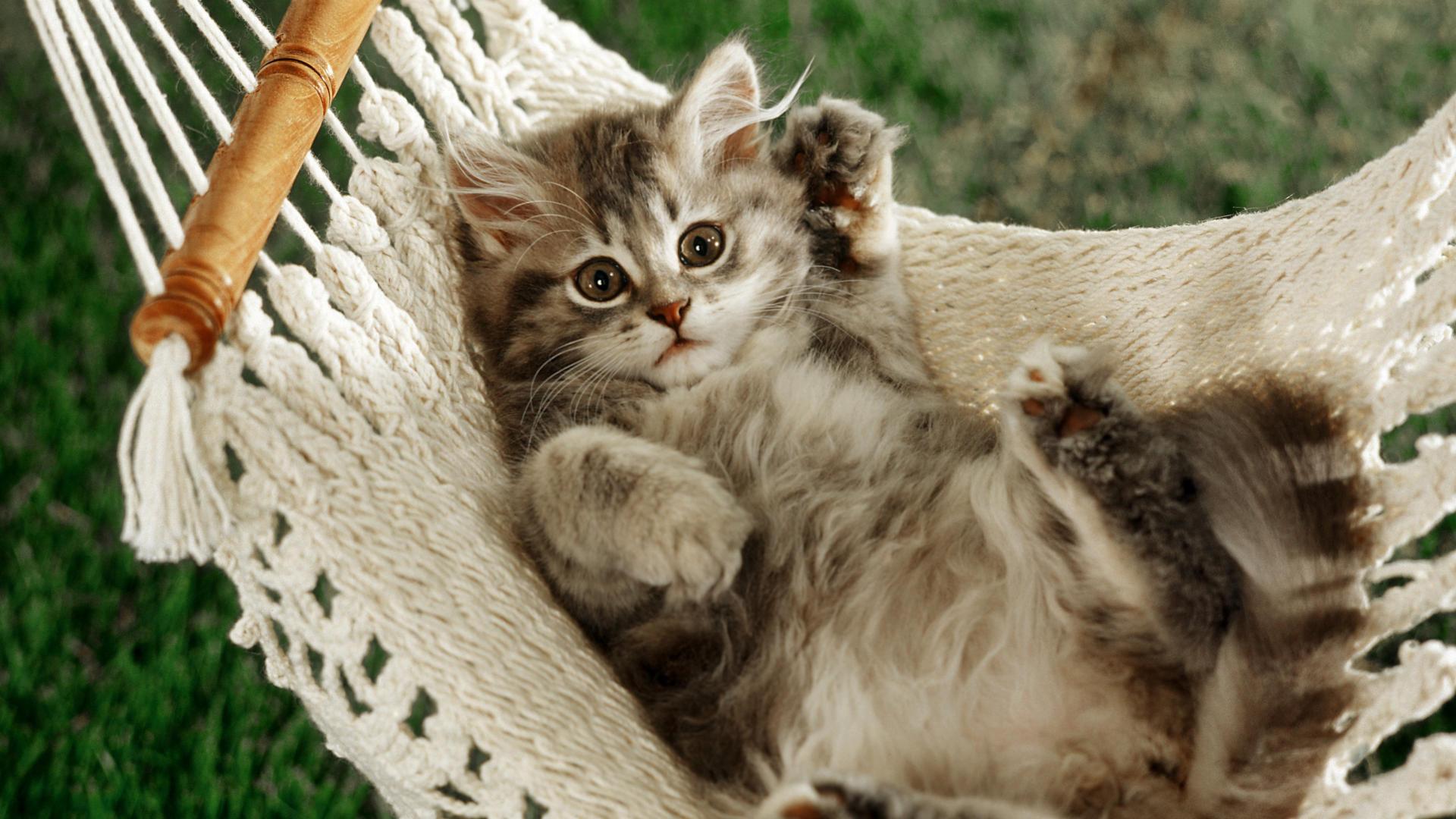 cat, hammock, fluffy, kitty, play