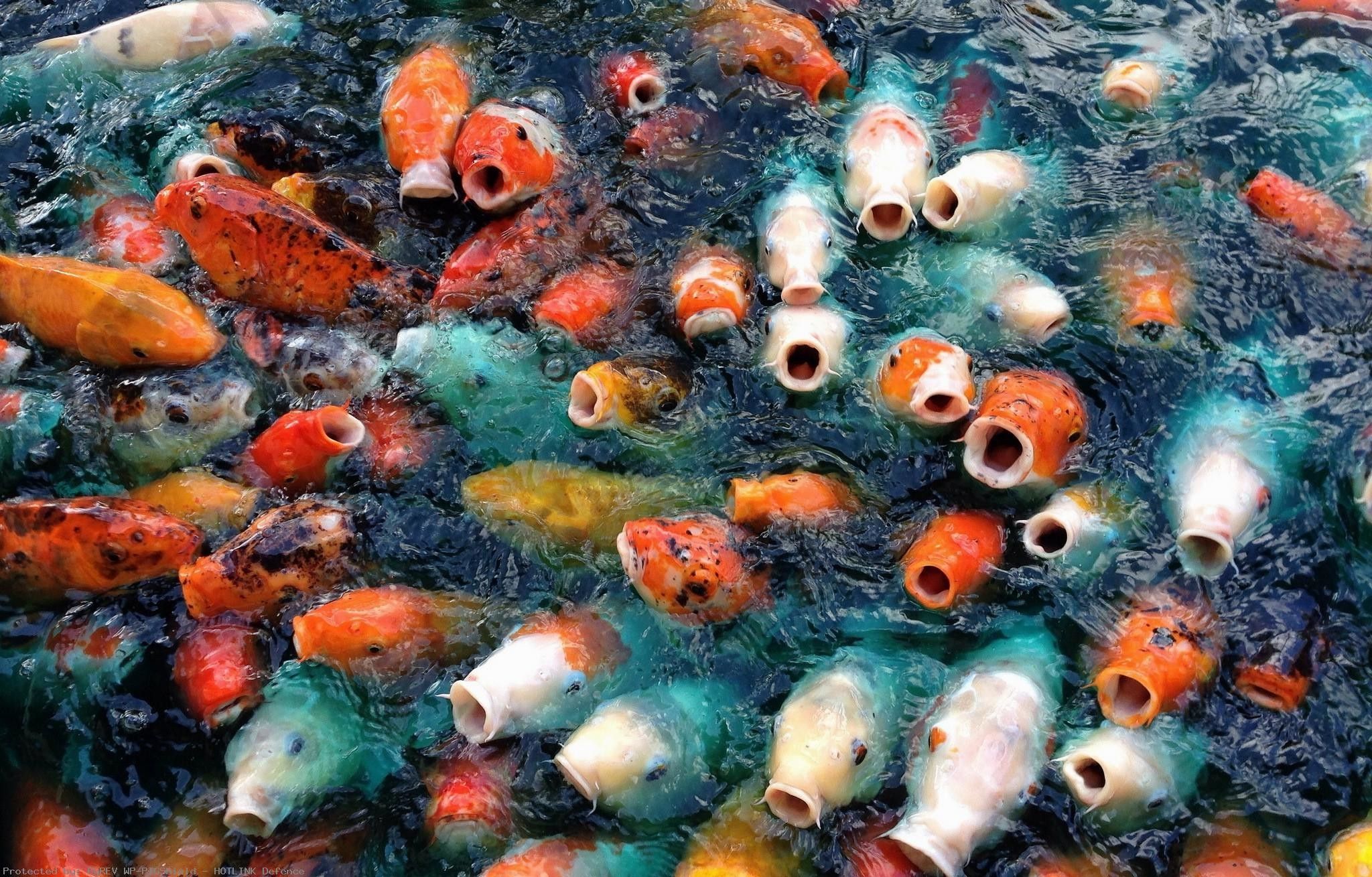 Koi-Fish-Live-for-Android-Free-Downloadcom-wallpaper-