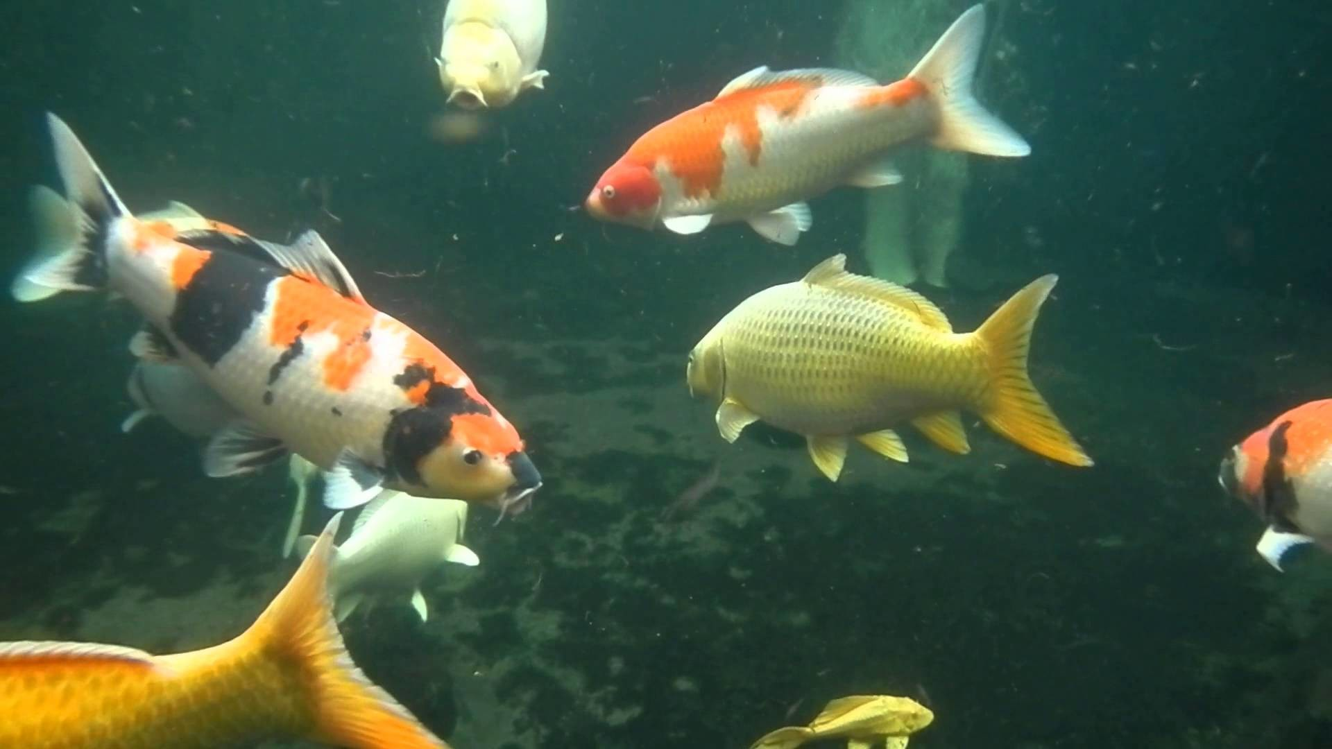 Water Proof Camera video of my Koi Pond under water, see my koi fish trying  to eat the camera – YouTube
