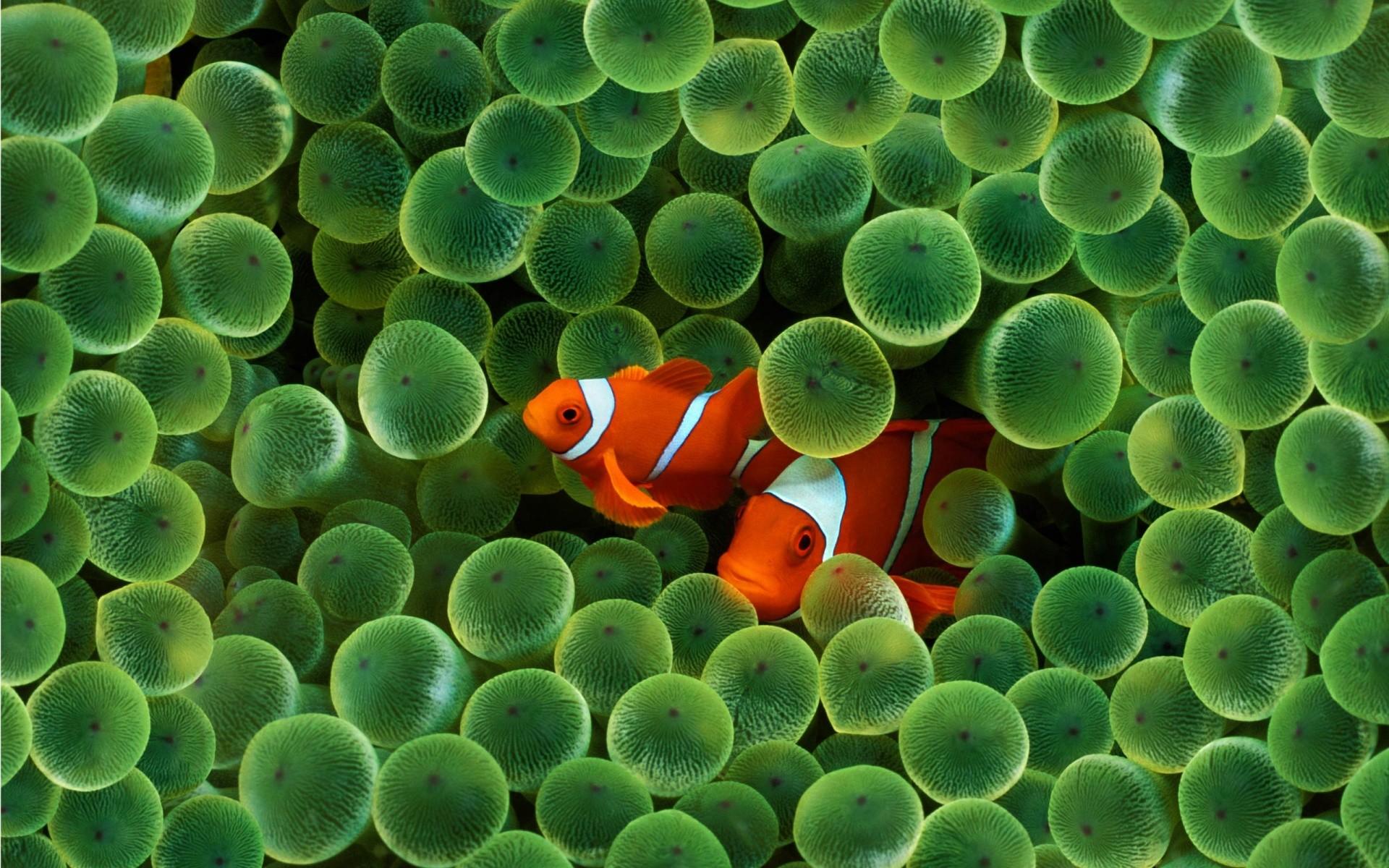 Download Fish Wallpapers wallpaper, 'apple clown fish wallpaper'.