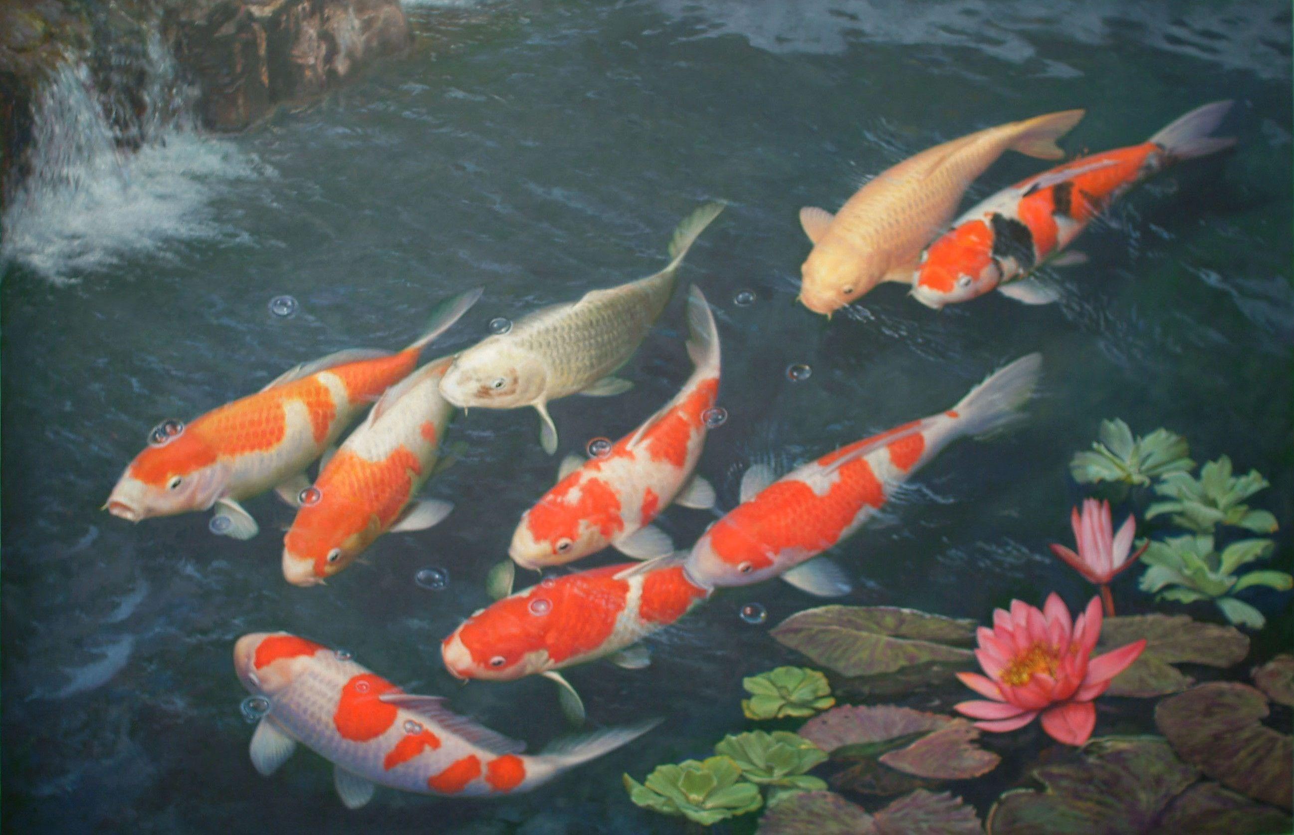 koi fish live wallpaper …