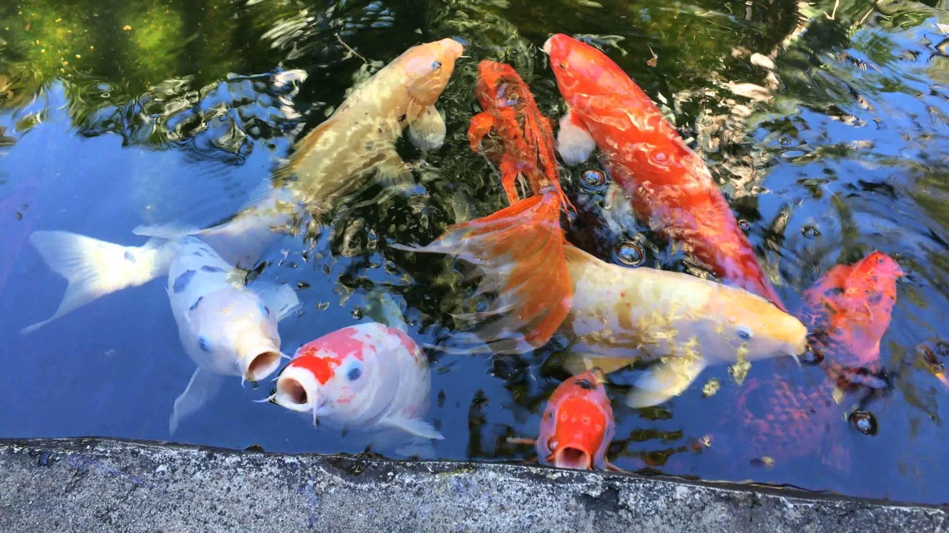 Koi fish pond at Marie Selby Botanical Gardens in Sarasota Florida in 4K