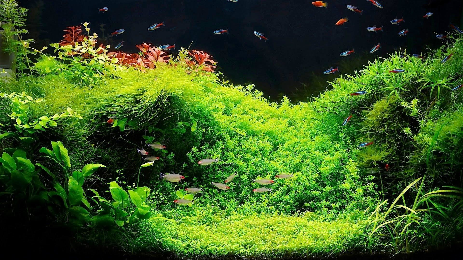 51 Koi Fish Live
