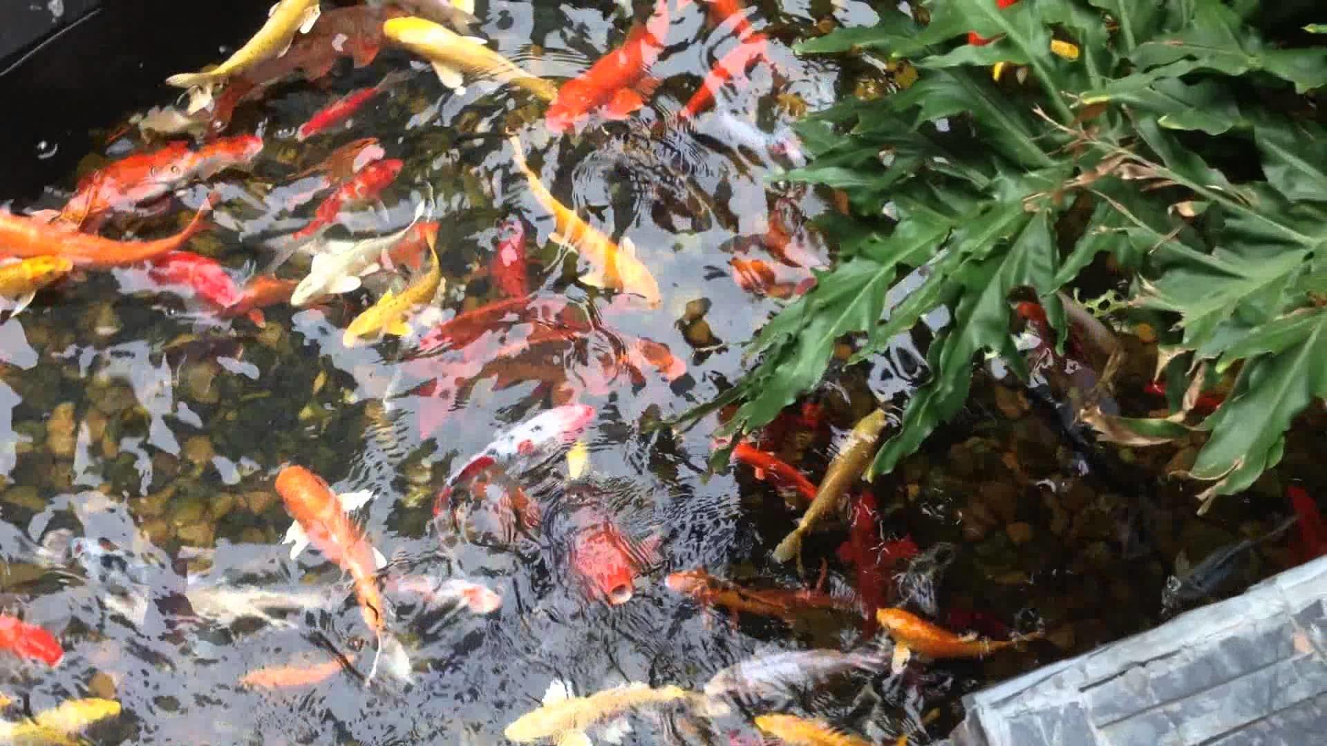 koi fish pool