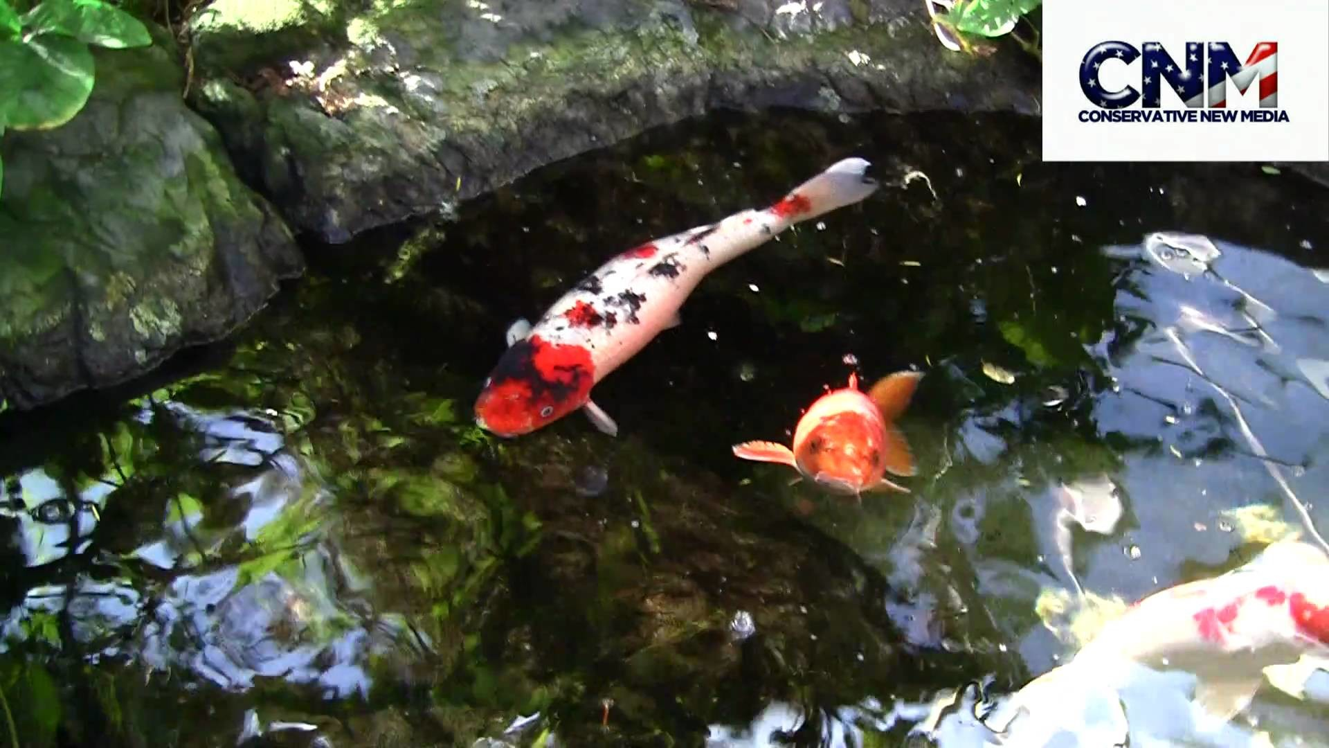 Beautiful Koi Carp Fish in 1080P HD !!