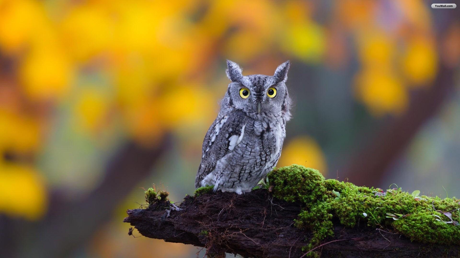 Silver Owl Wallpaper