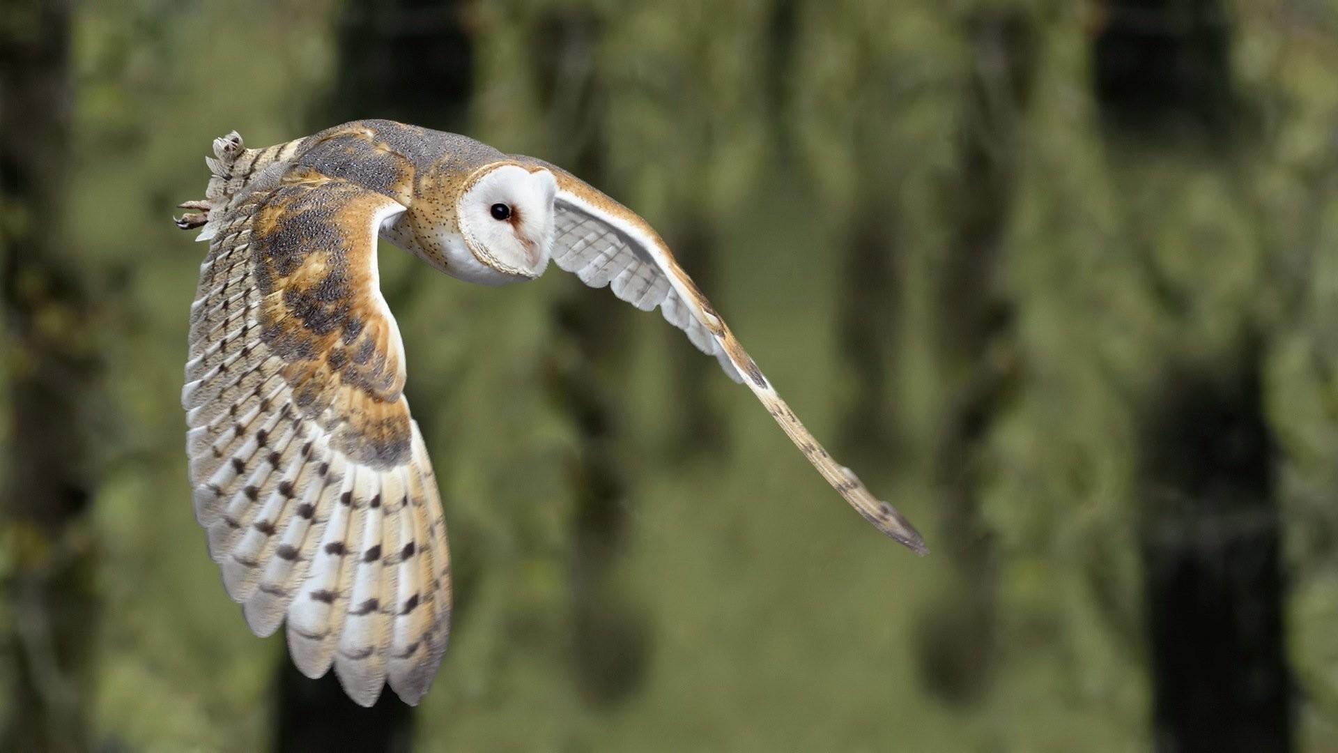 Animal – Barn owl Wallpaper