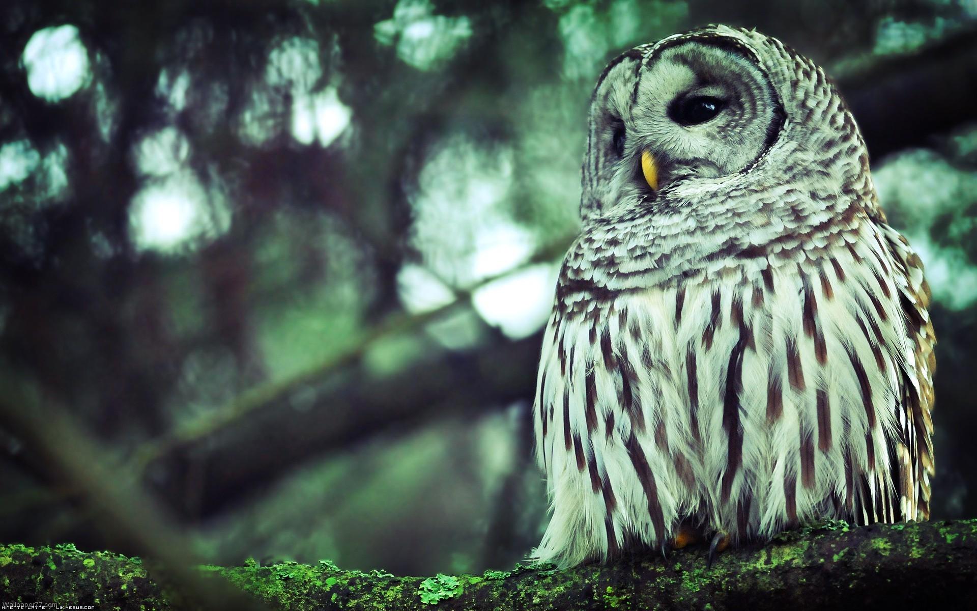 Owl Wallpaper for Mobile